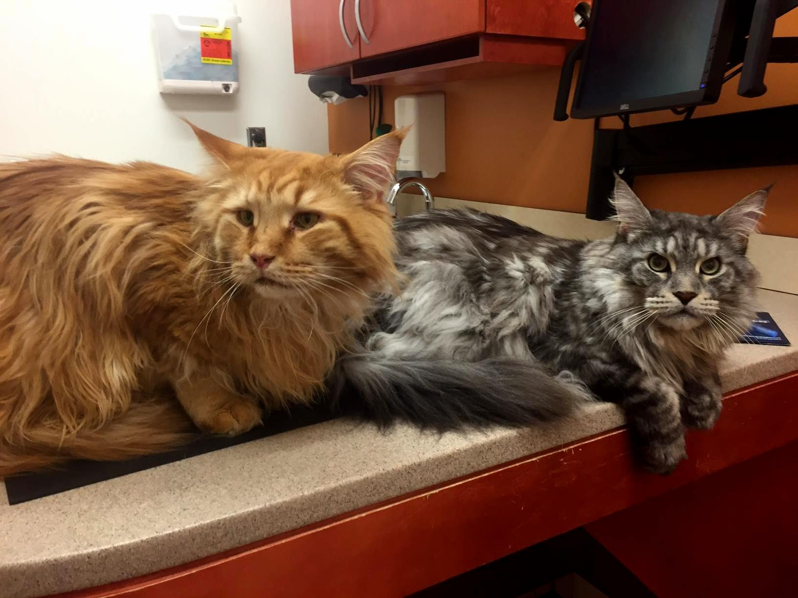 Sfspca just posted these two maine coon buddies getting their vaccines 21.5 and 25lbs