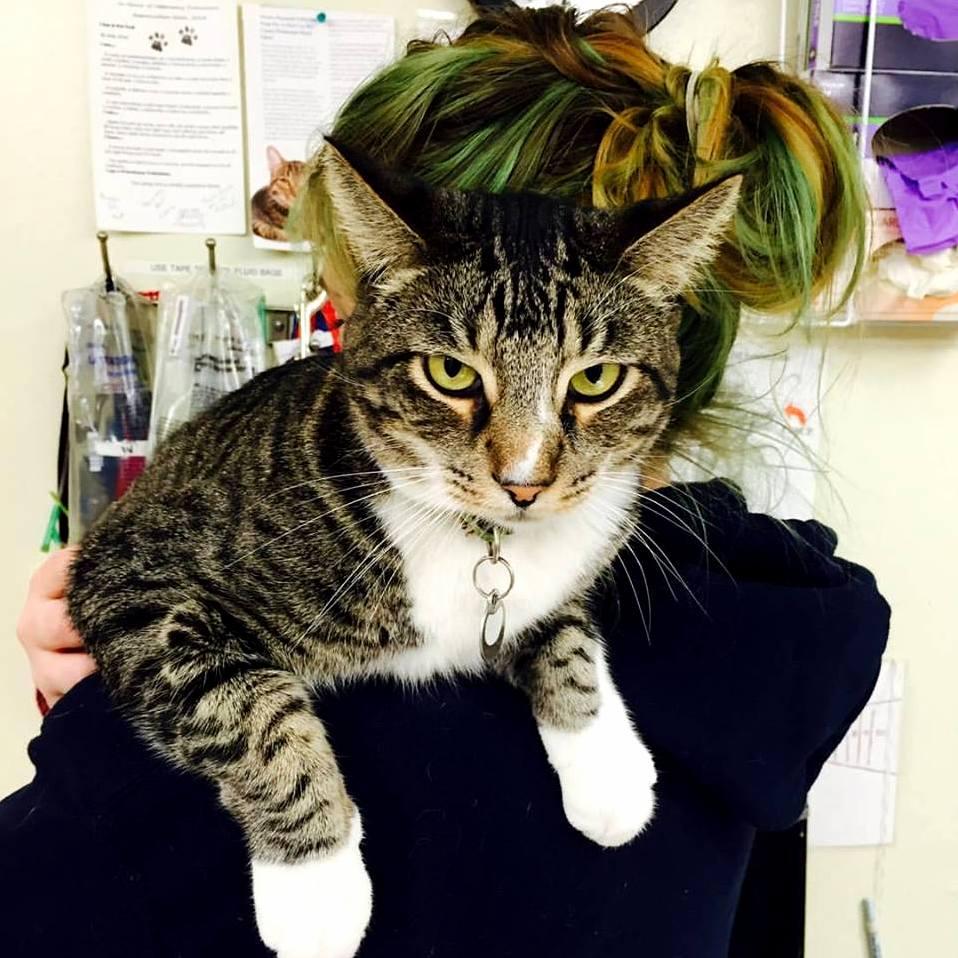 Woz is definitely a shoulder cat