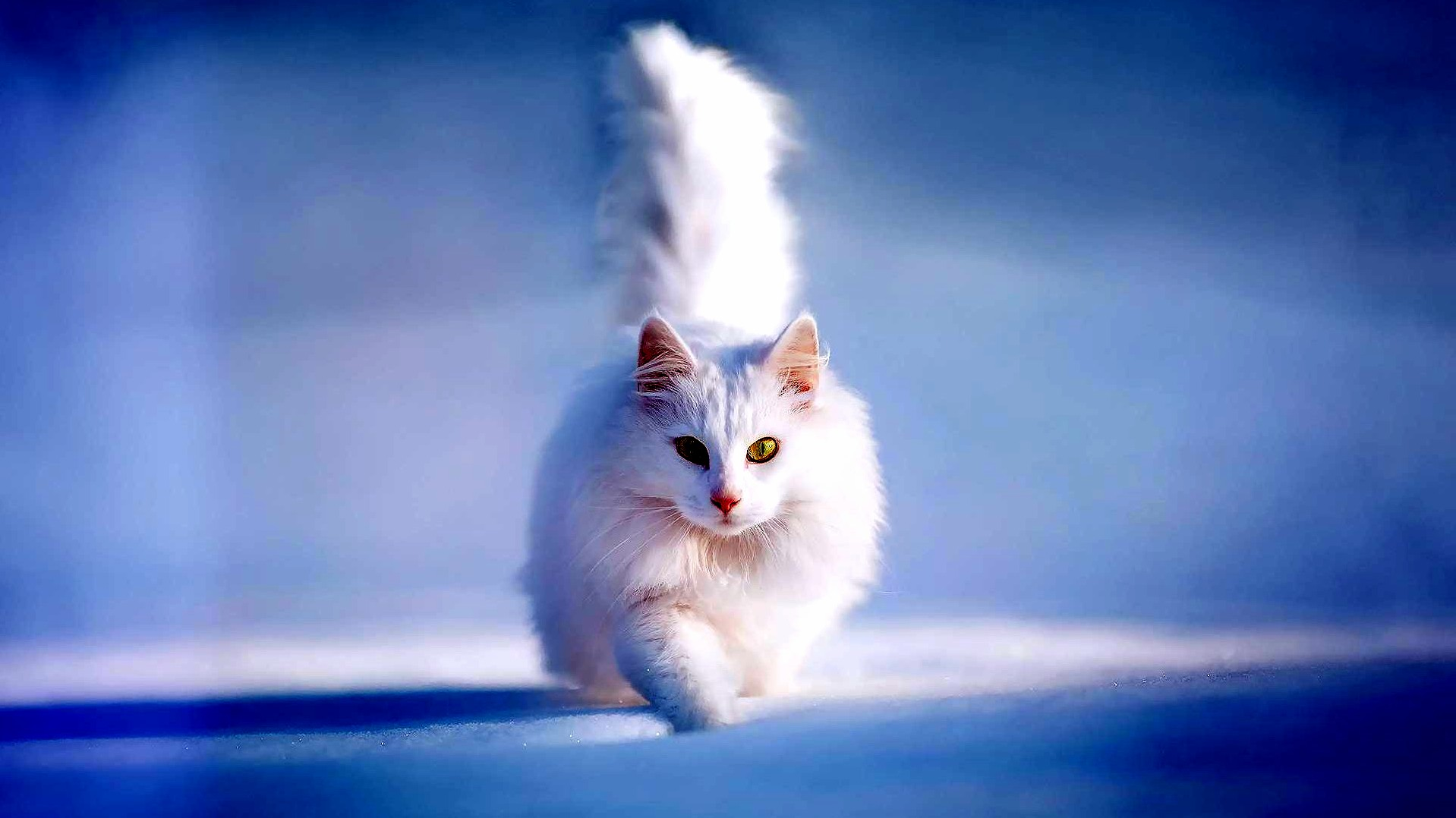 Beautiful White Cat Cute Cats Hq Pictures Of Cute Cats And Kittens Free Pictures Of Funny Cats And Photo Of Cute Kittens