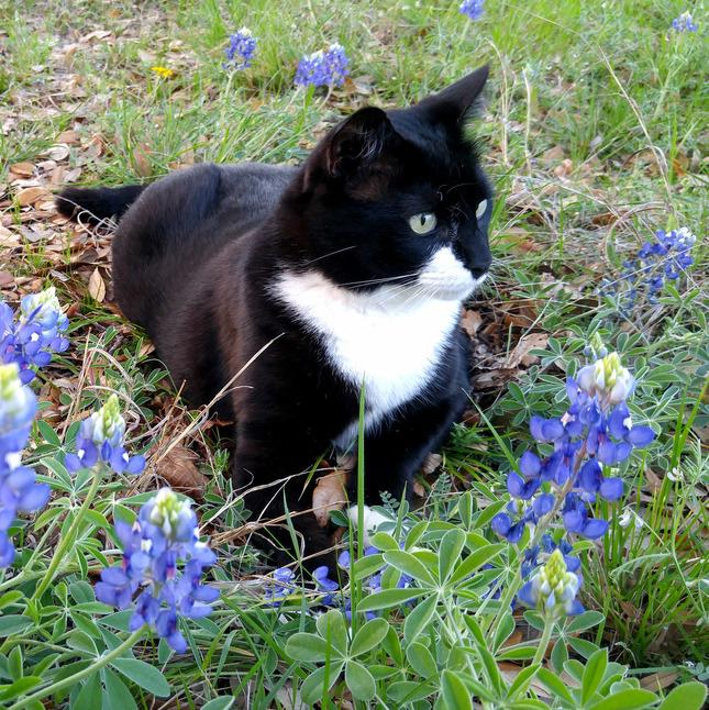 Bluebonnets black cat.