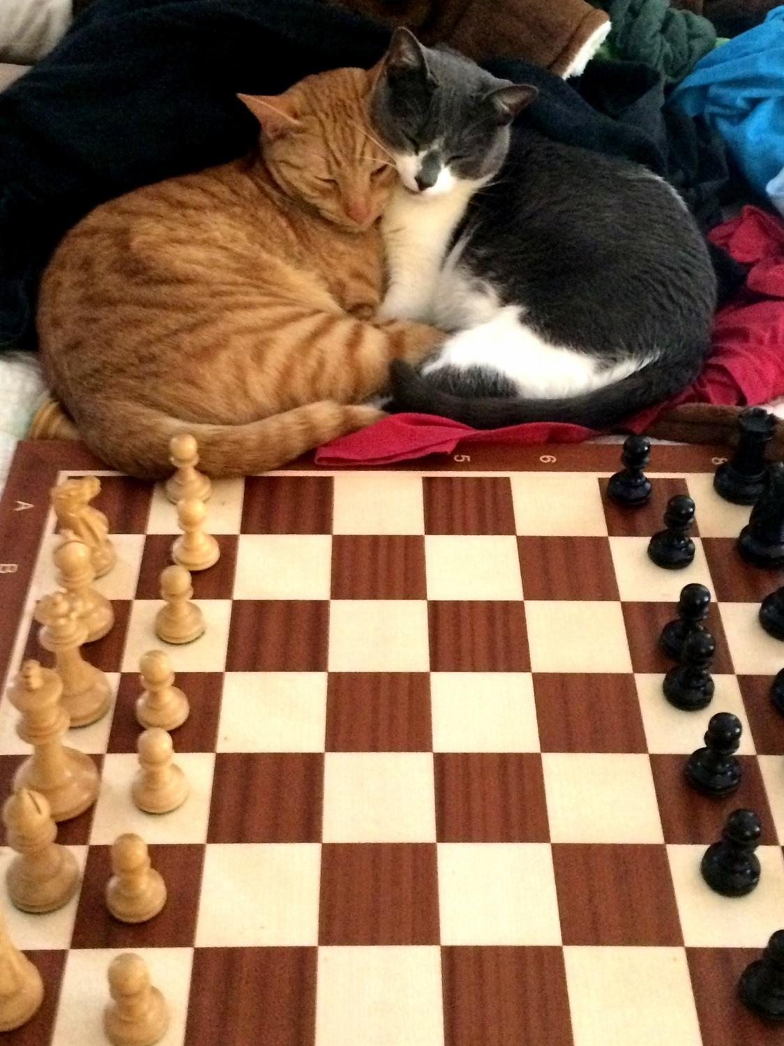 Kitten chess