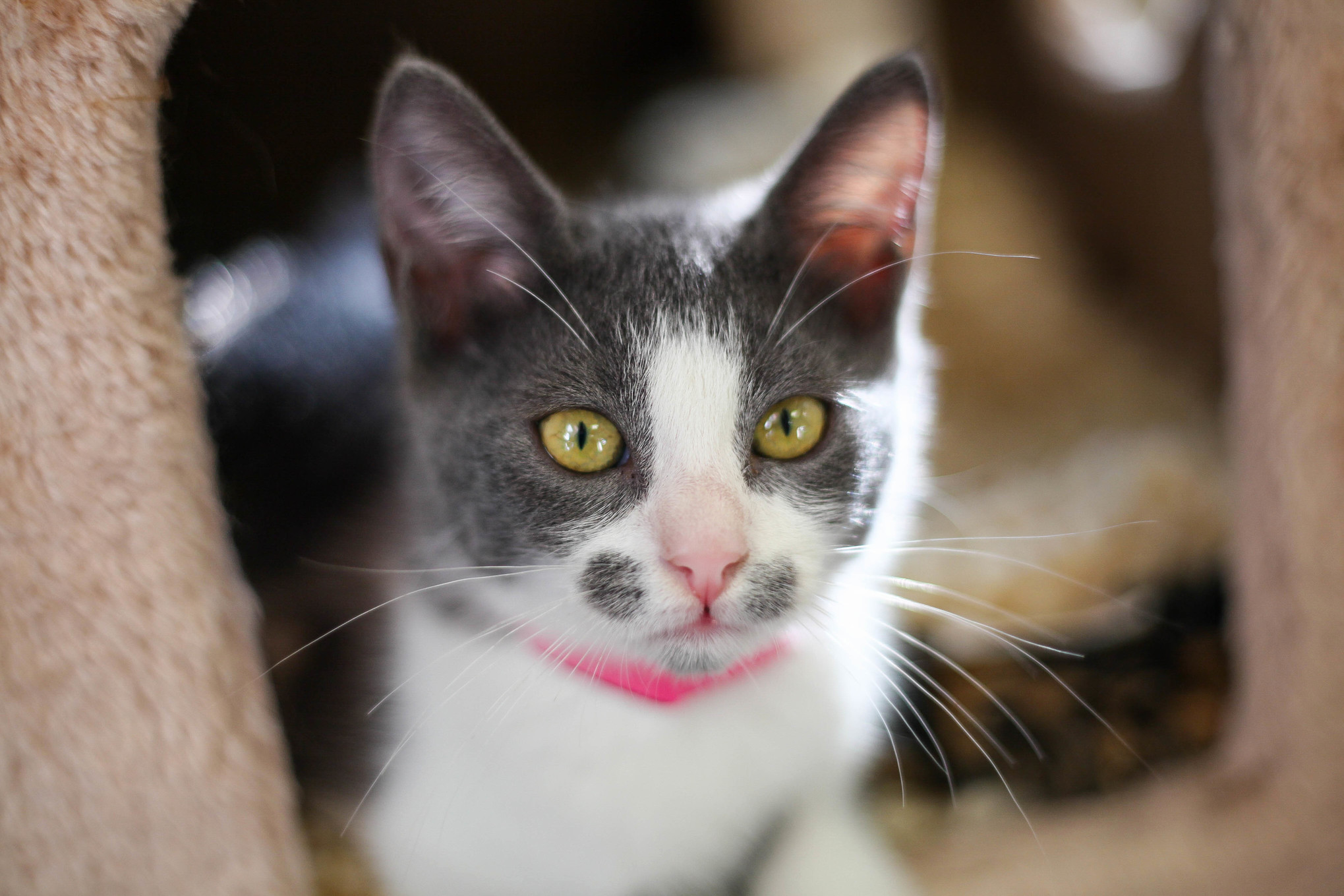 Adorable shelter kitten with unique face markings.