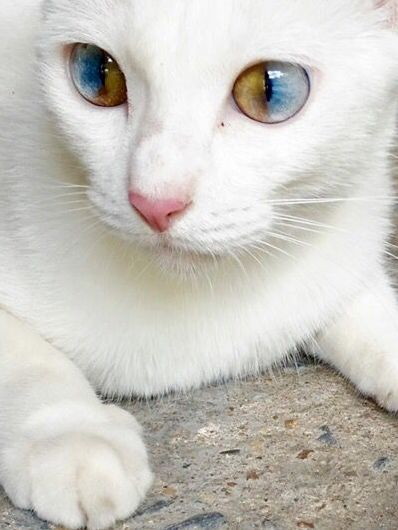 I ve never seen this particular type of heterochromia in a cat.