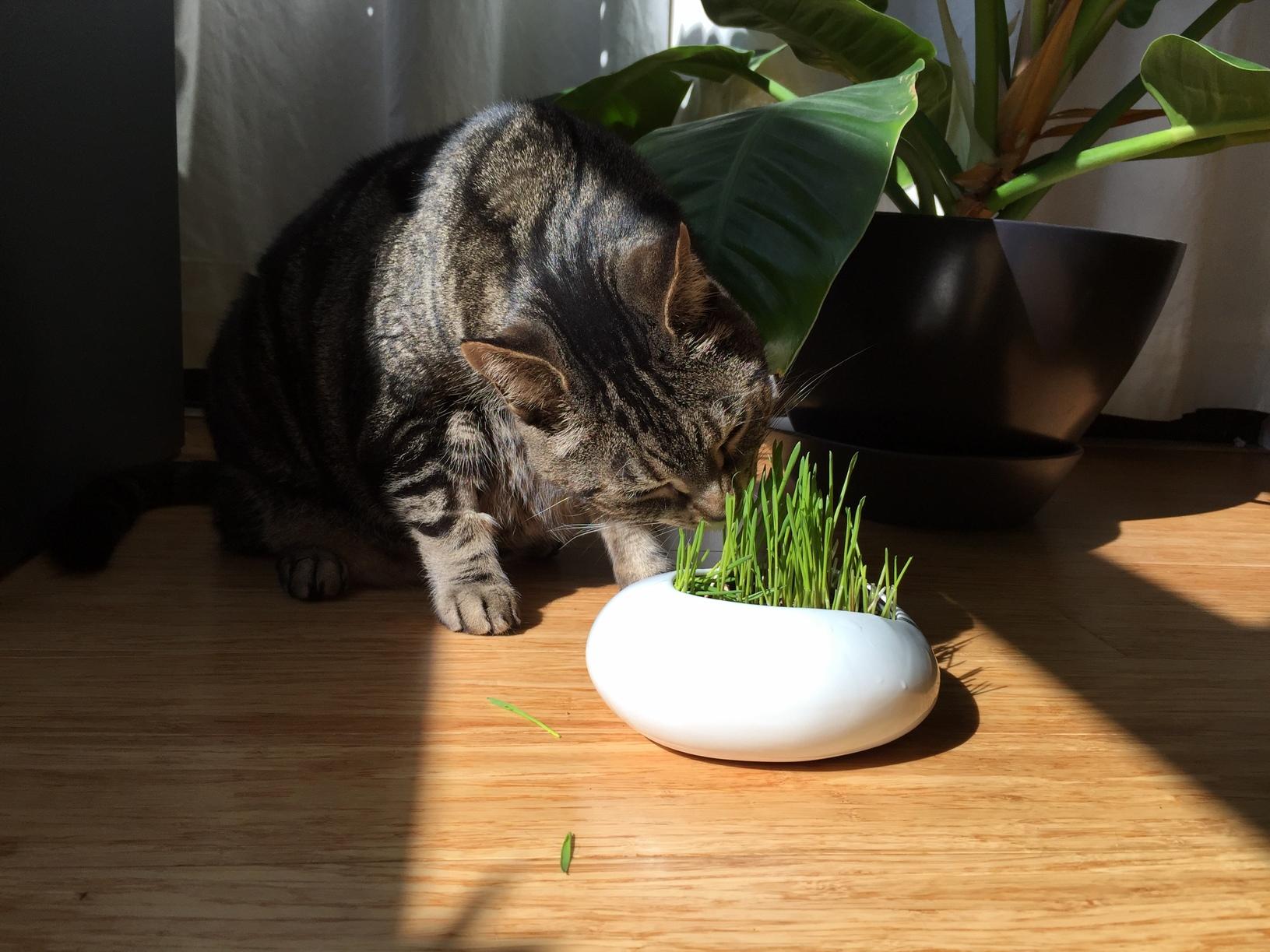 Lukas mowing cat grass