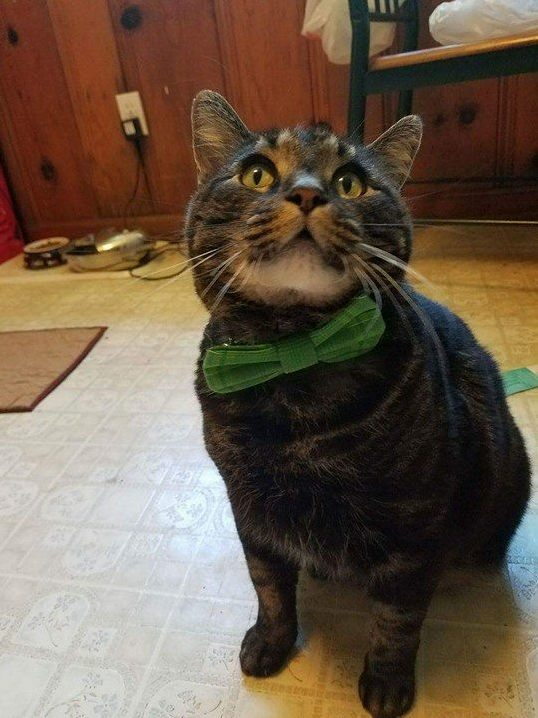 My sister in law bought my cat a bow tie. he is very proud