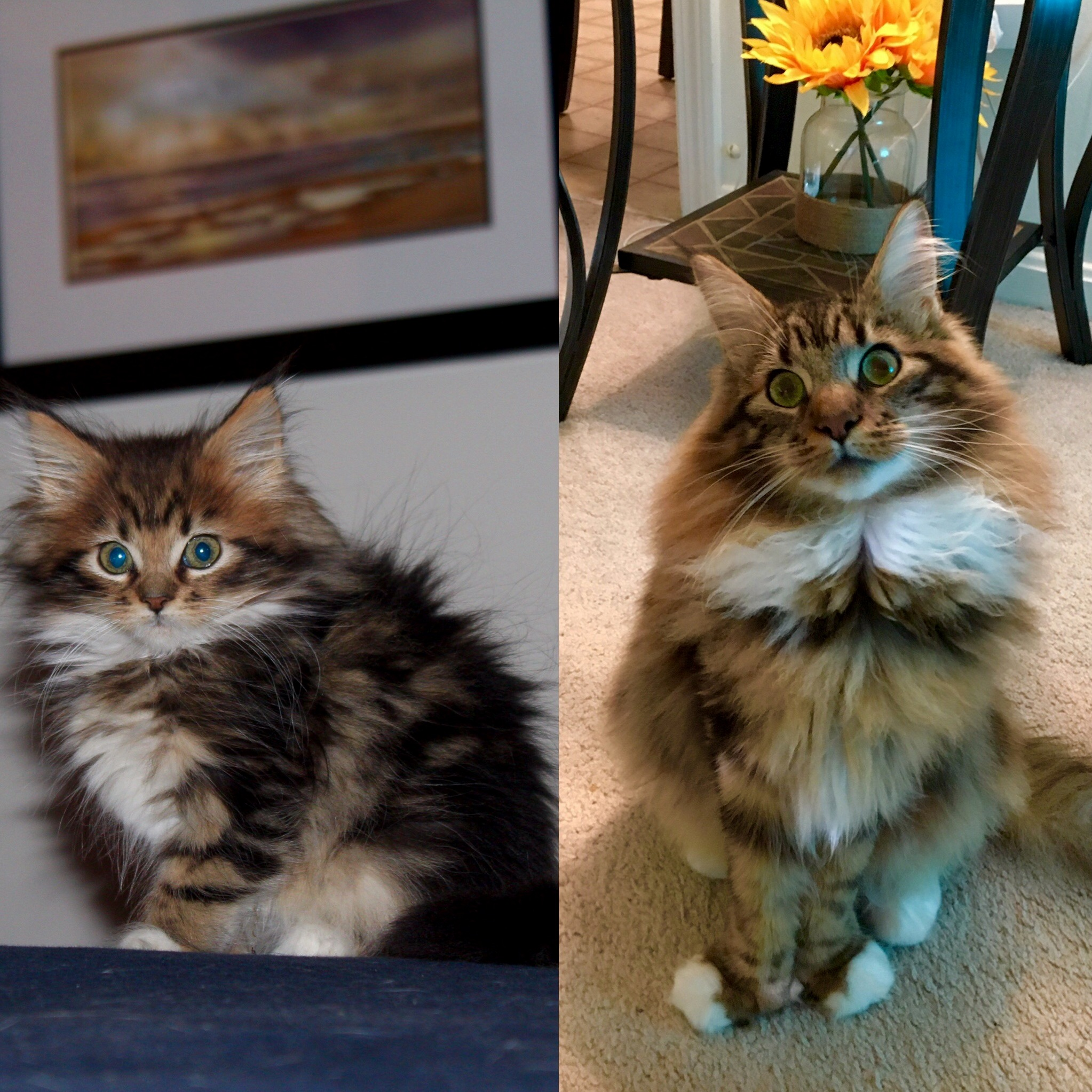 Ruckusthecooncat instagram at 10 months. crazy how fast they grow up.