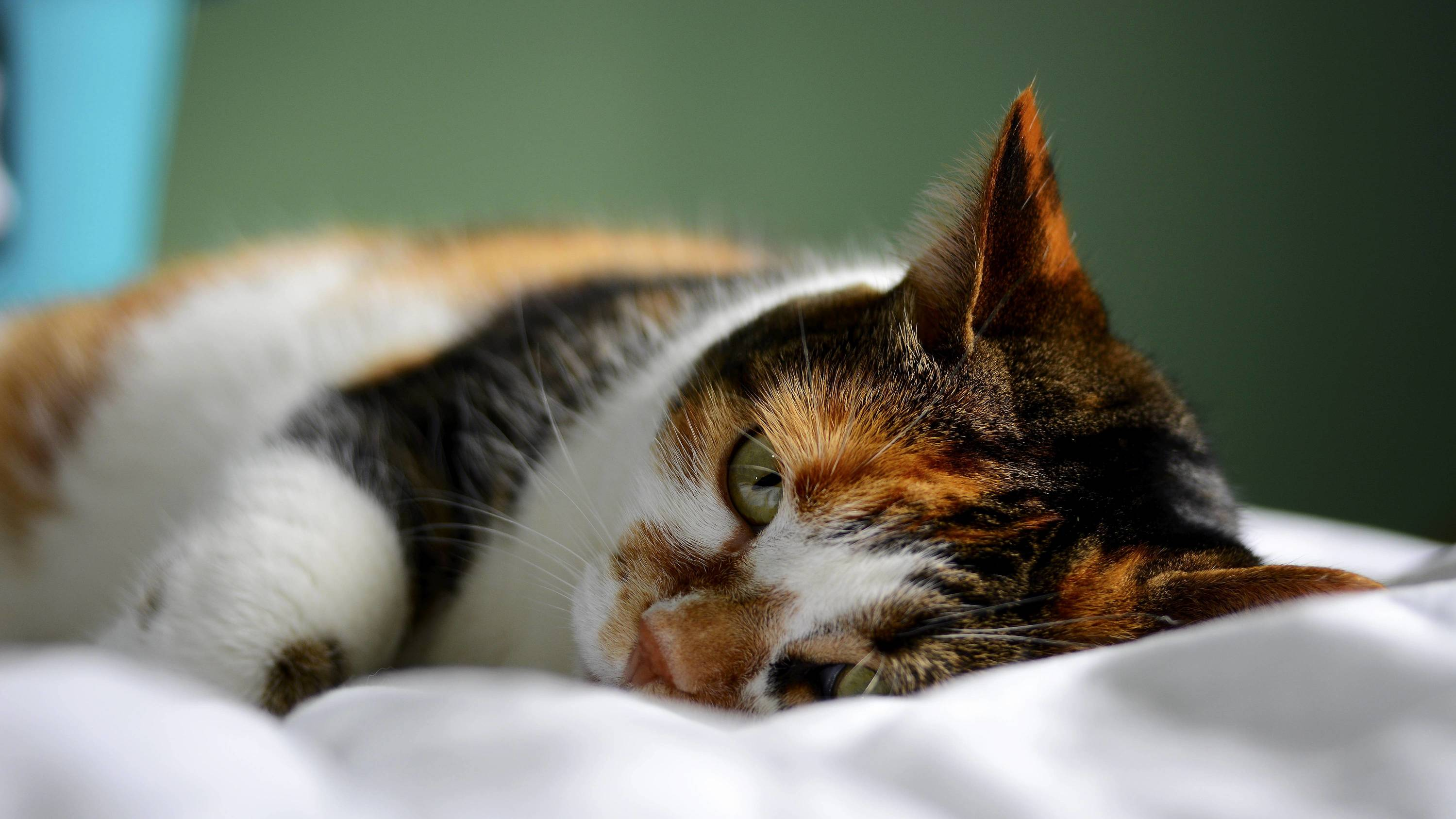 Sleepy calico