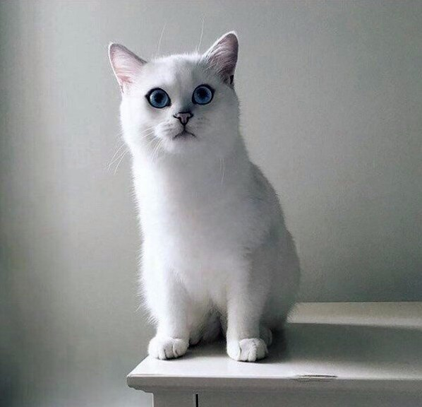The snow white fur and eyes oceans