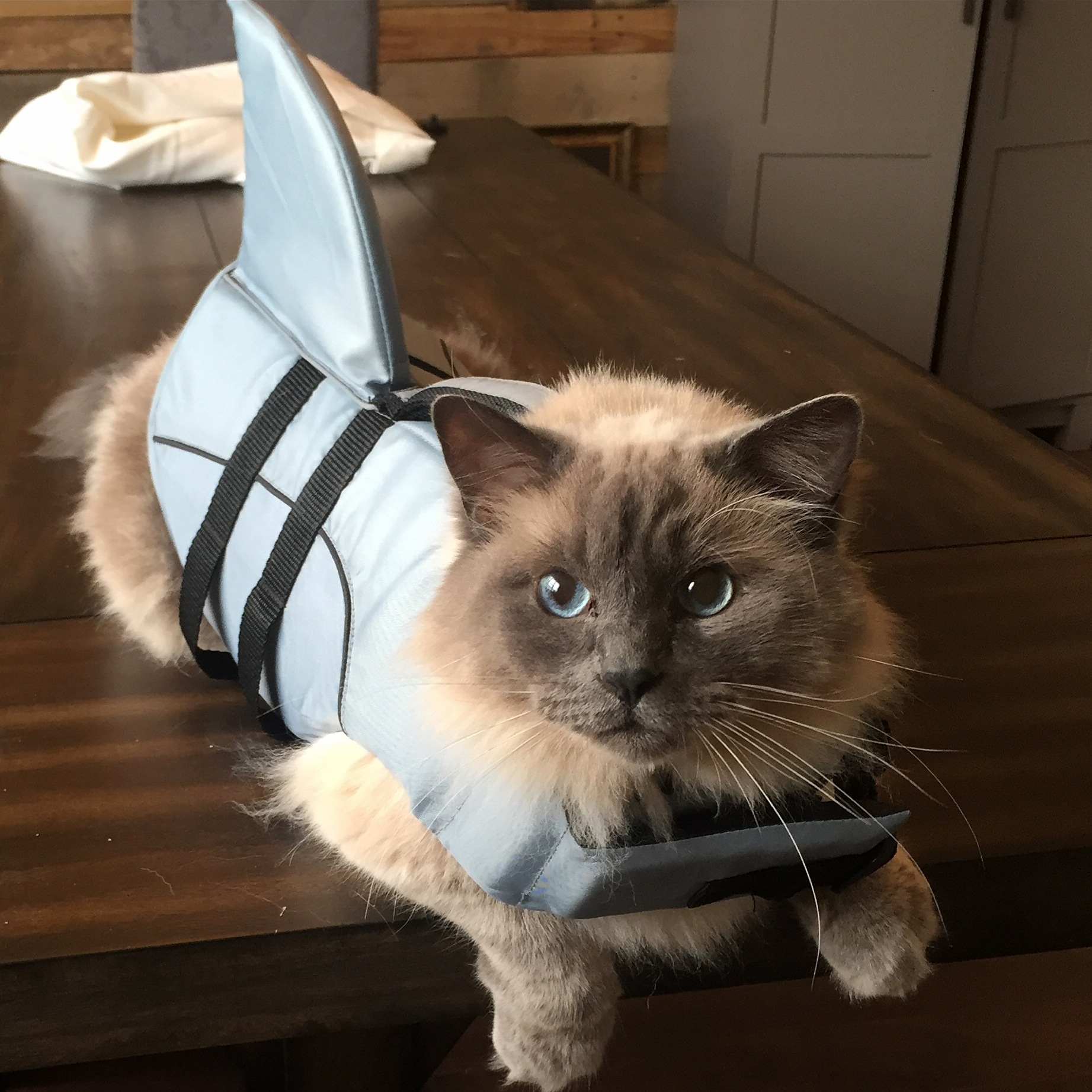 This is alfred our ragdoll who is chill enough to get put in the dogs clothes in addition to his own.