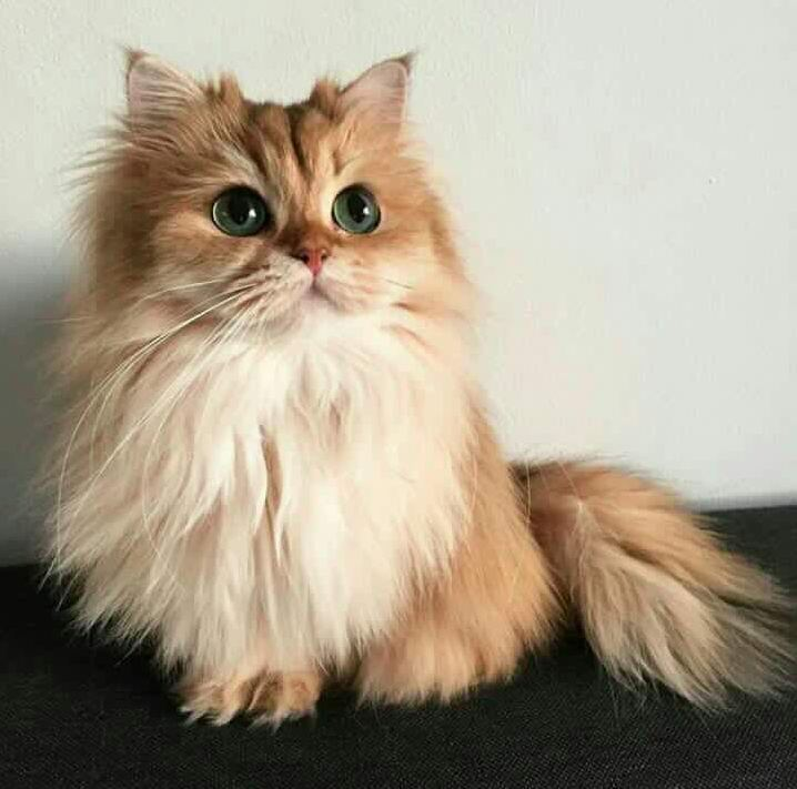 What type of cat is this
