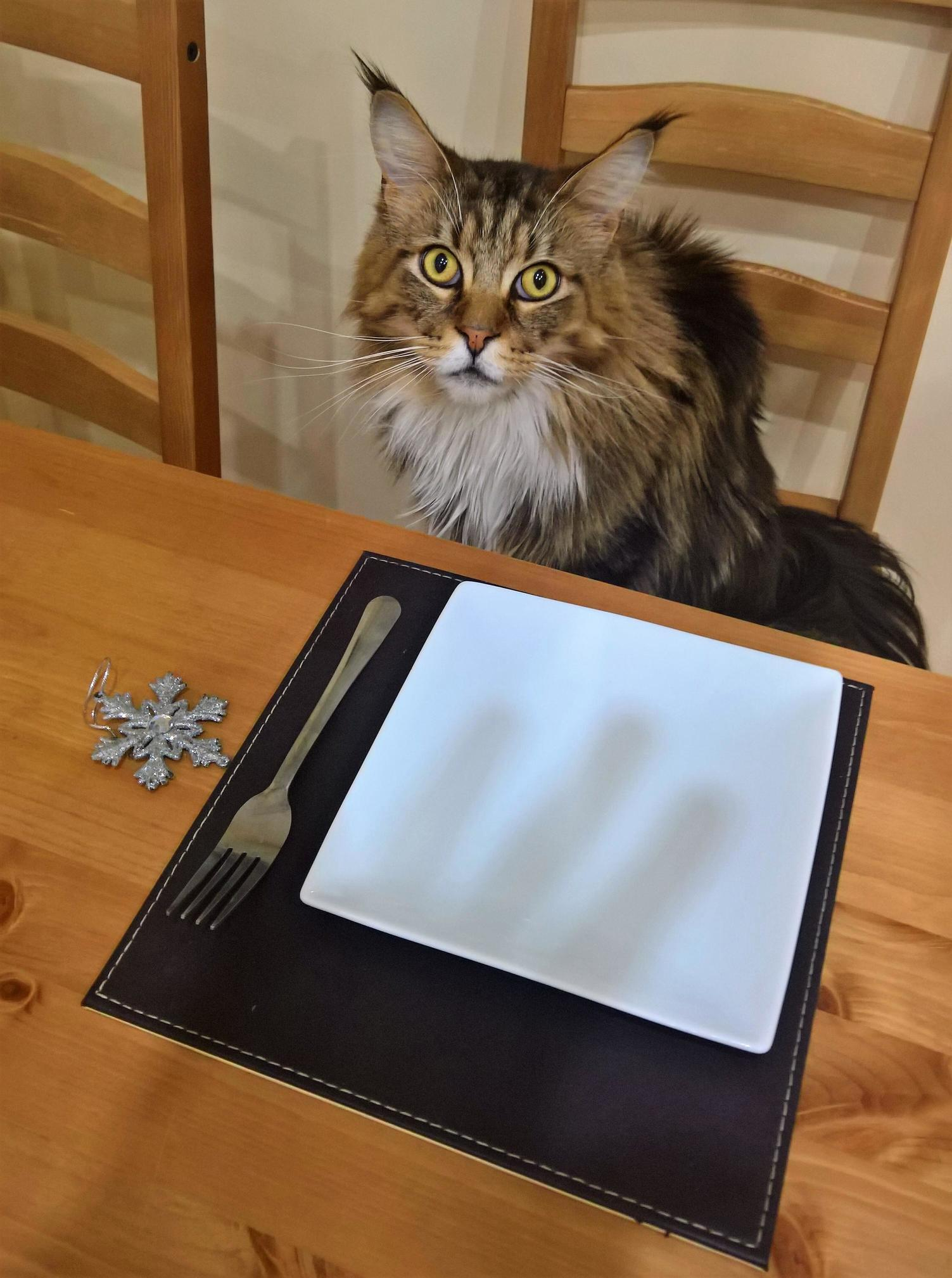 Wheres my pre christmas meal human leon 3 years old maine coon