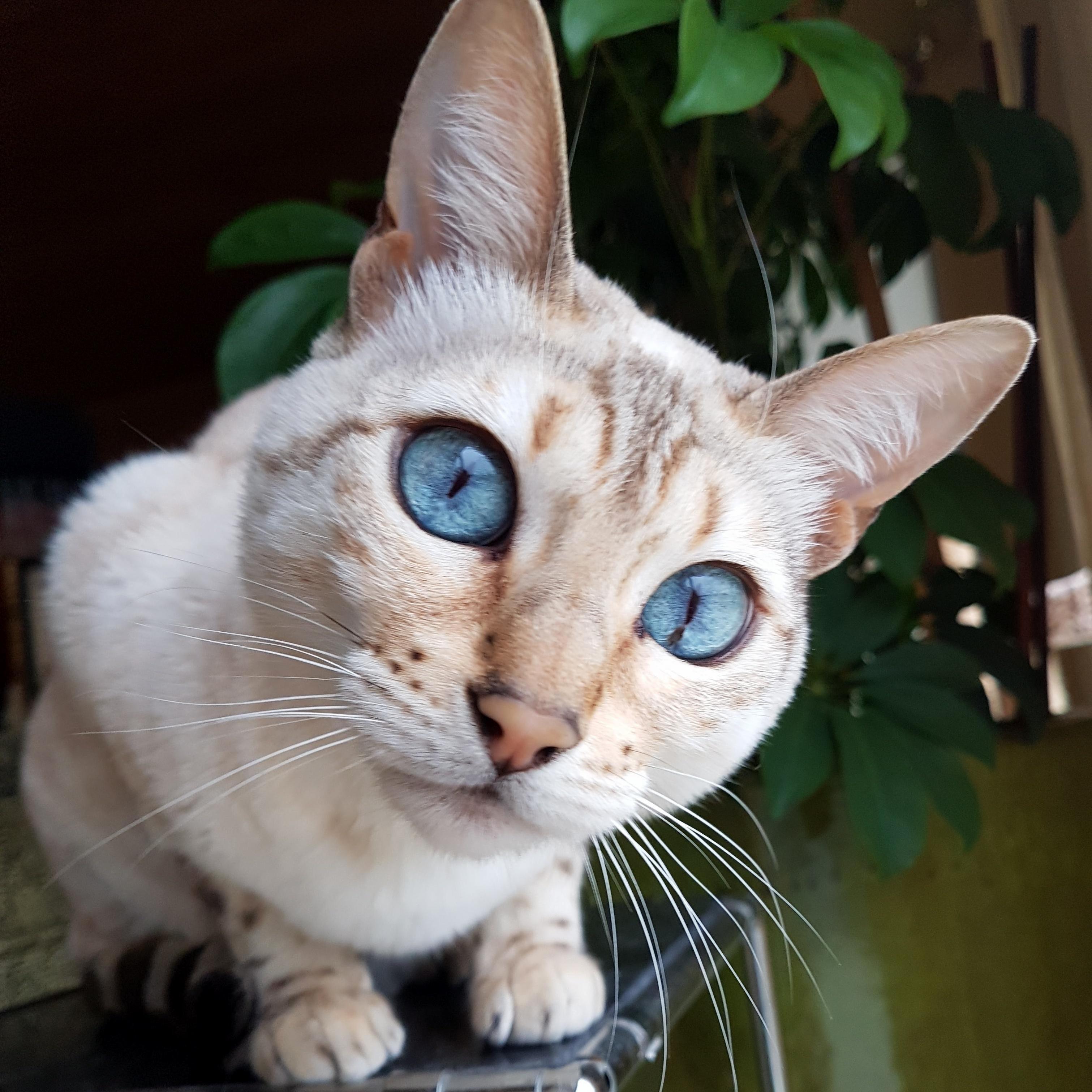 Blue eyes white kitten