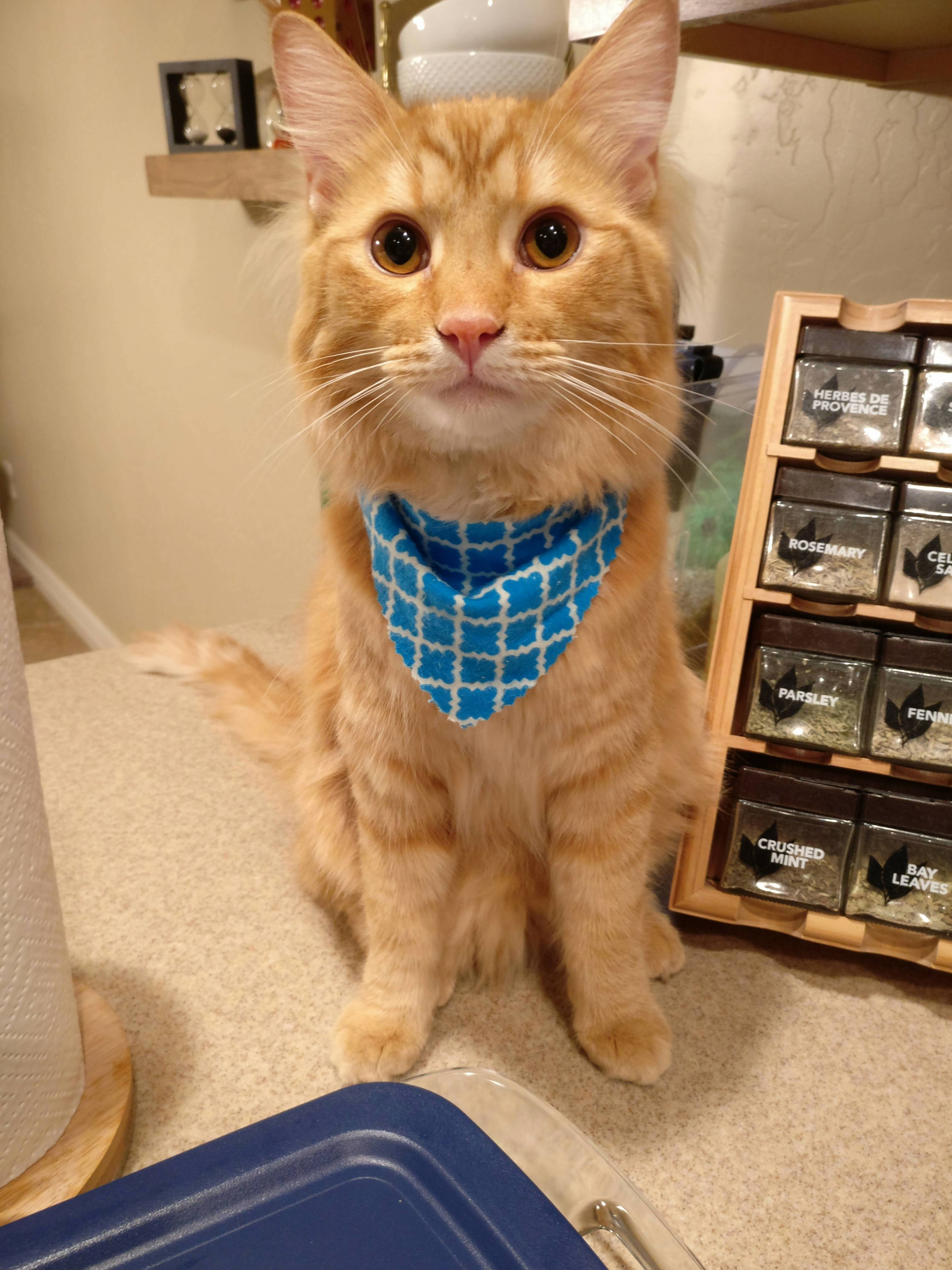 Chester is trying out the bandana look
