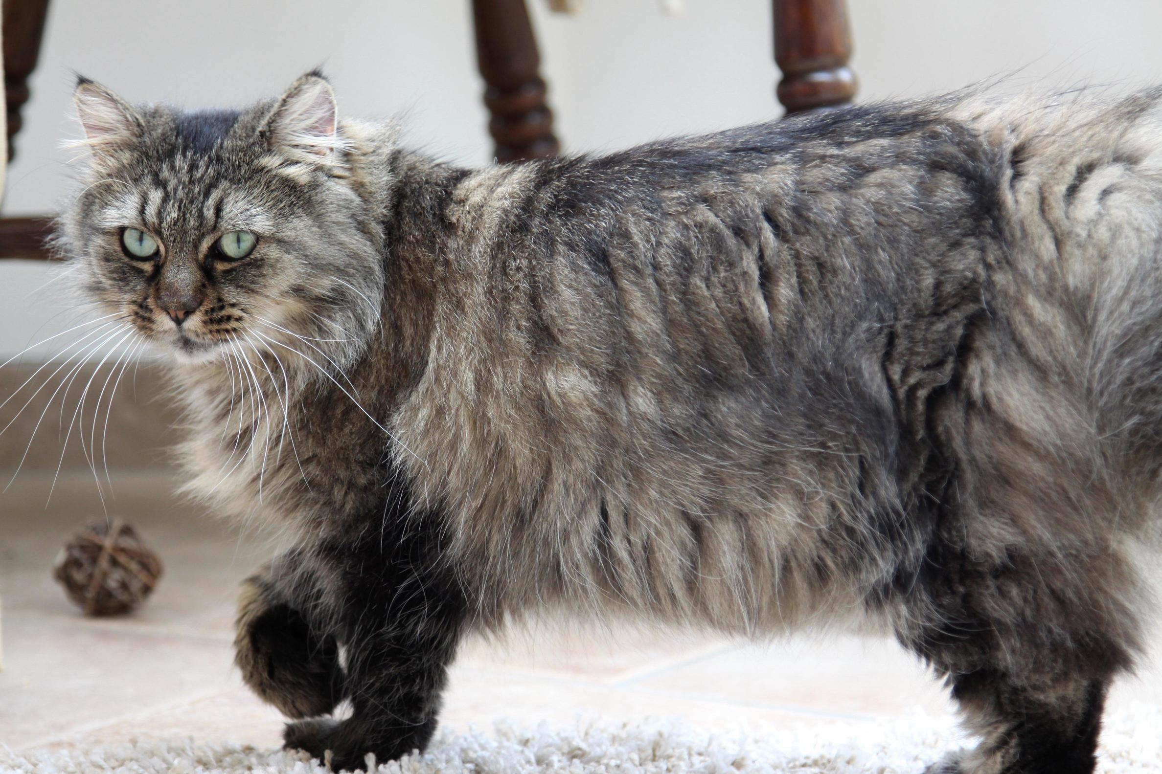 Our beautiful norwegian forest cross alena not pictured – tail floof