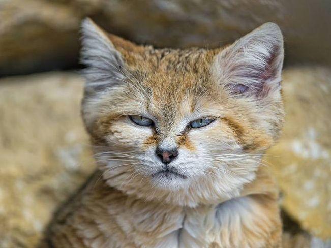 Sand cat suspicious of photographer