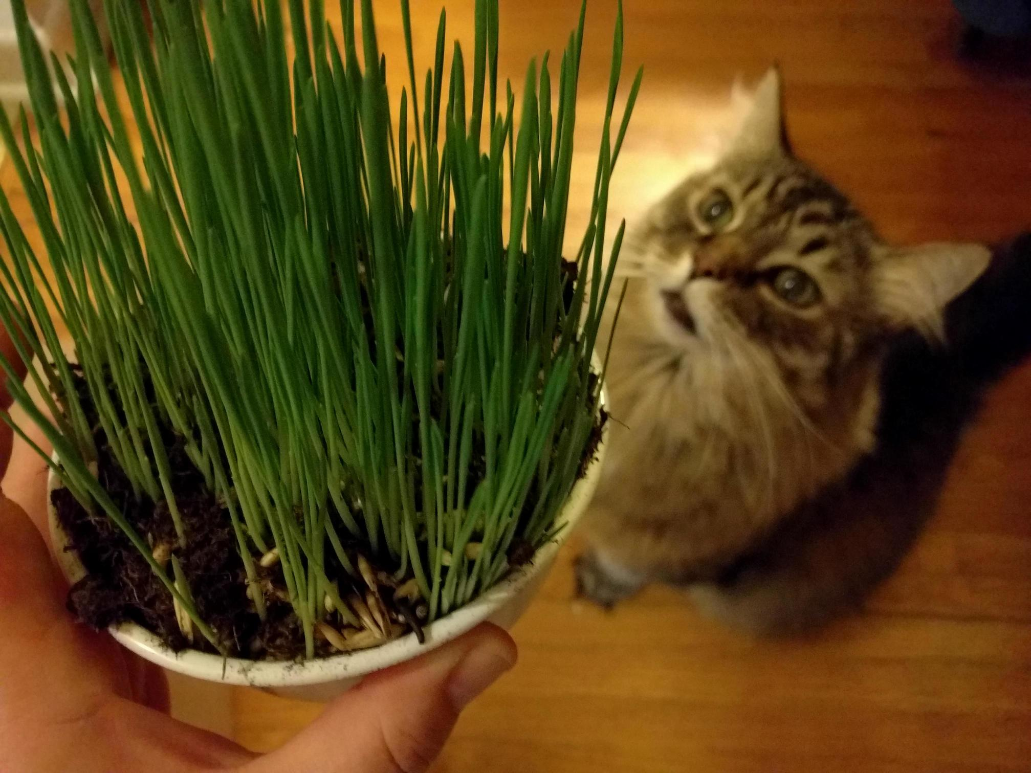 At 16 years old monty is still obsessed with cat grass.