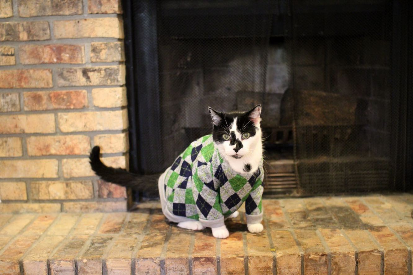 Cow the cat wearing a sweater