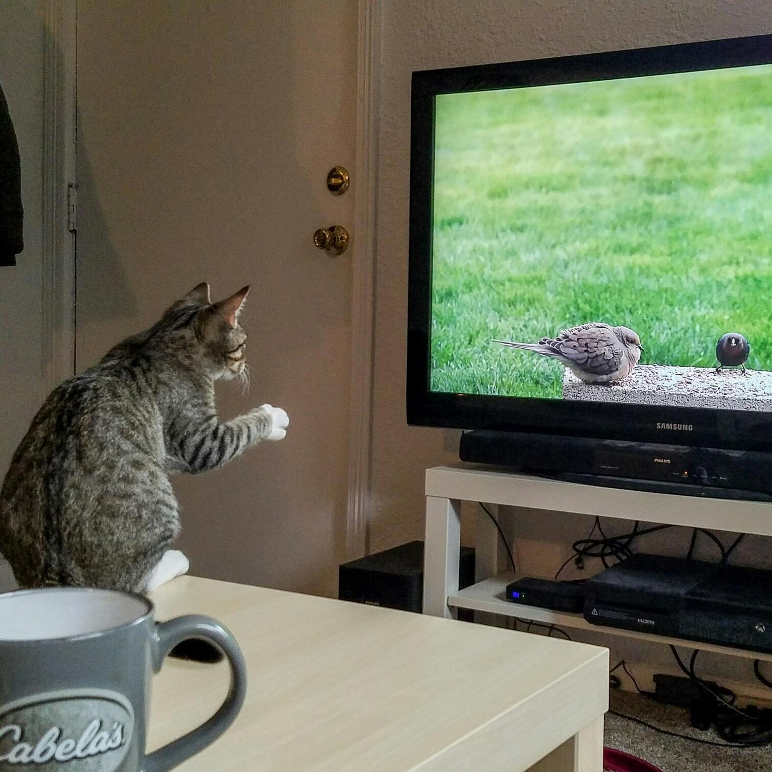 My friends cat seems very focused on the tv