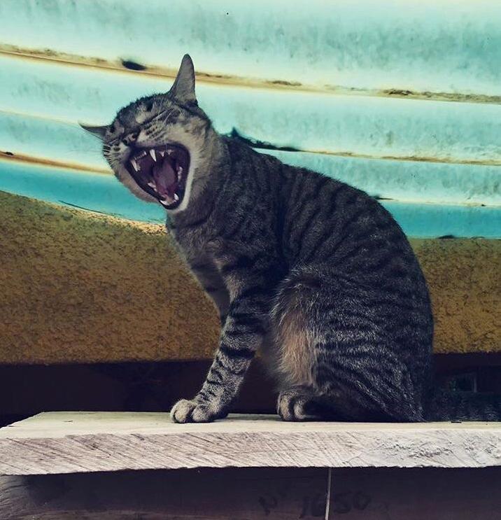 Cat dracula