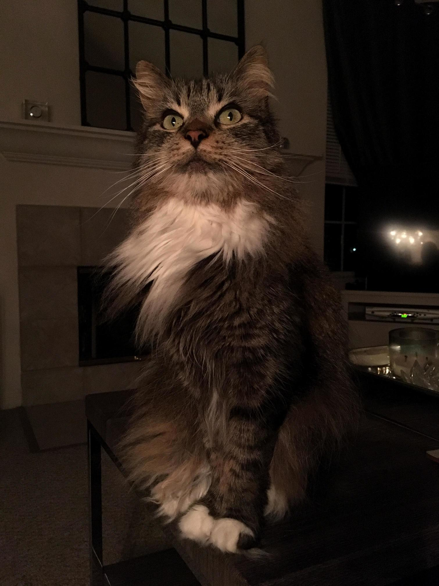 Meet my little maine coon mix hedwig