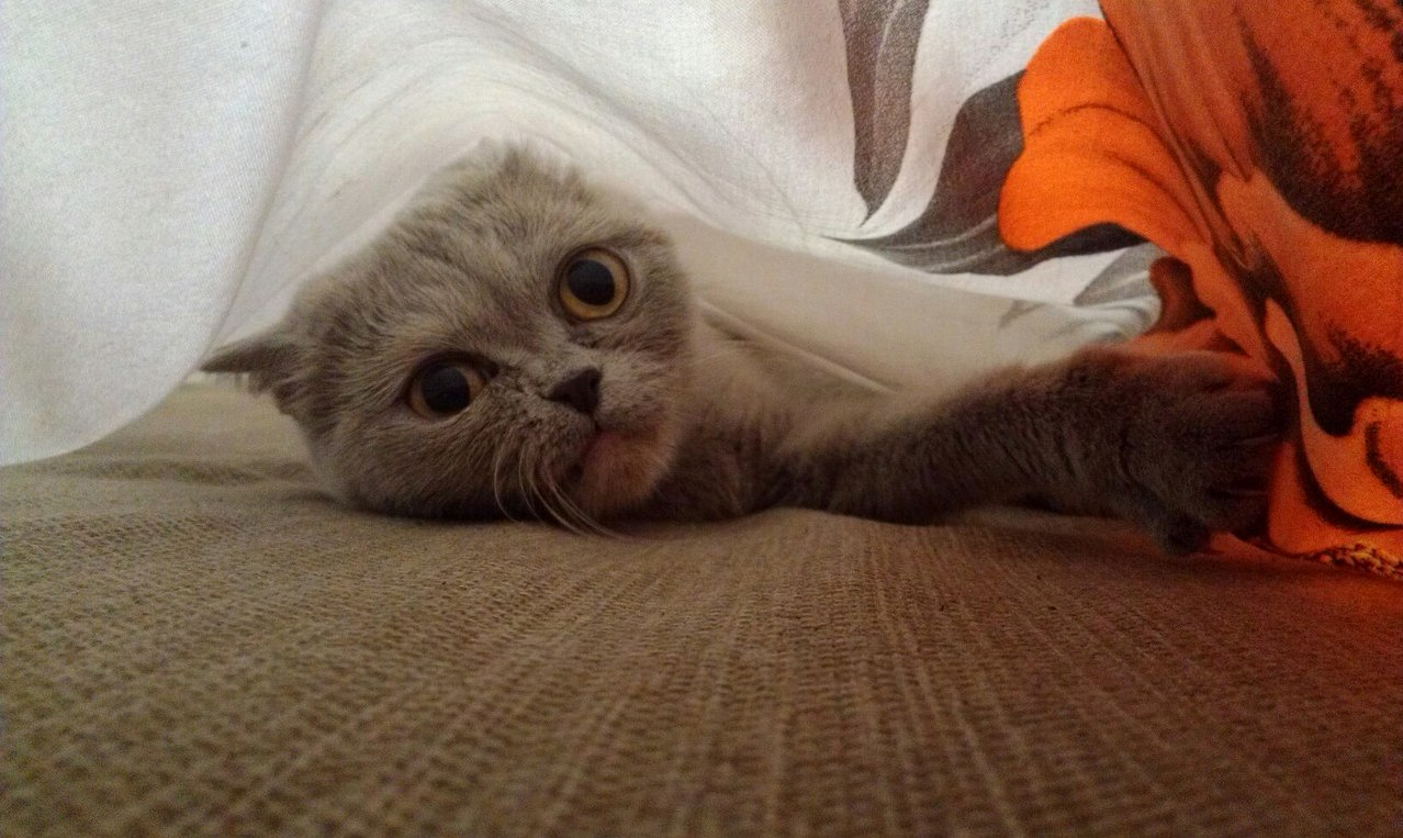 My cat under the bed sheets