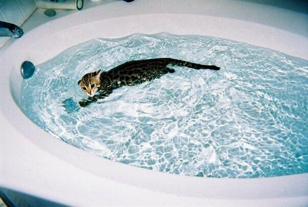 My f1 bengal milo used to get in the tub on his own swim laps at about 3 4 months old.
