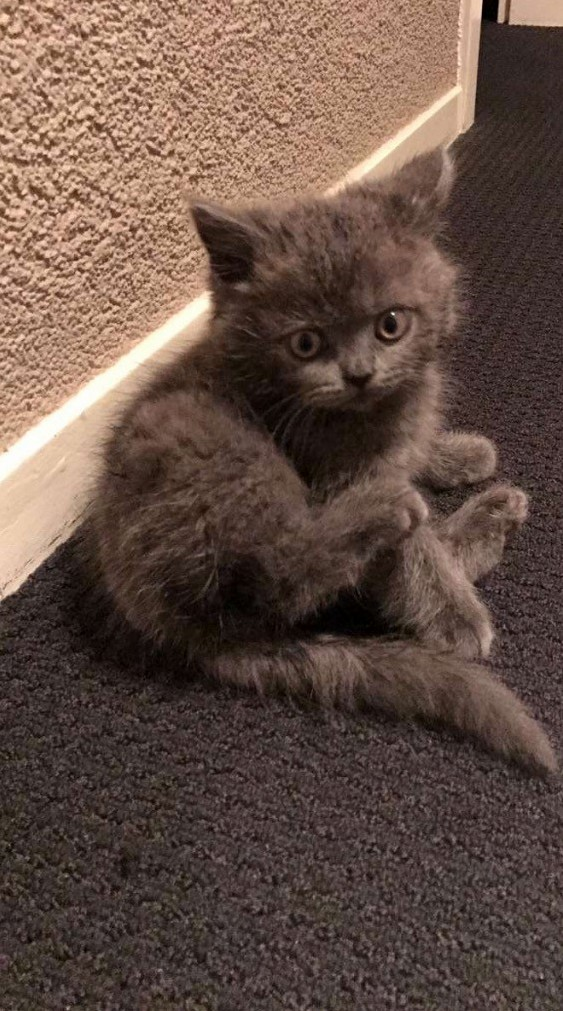 My friends 8 week old british shorthair kitten