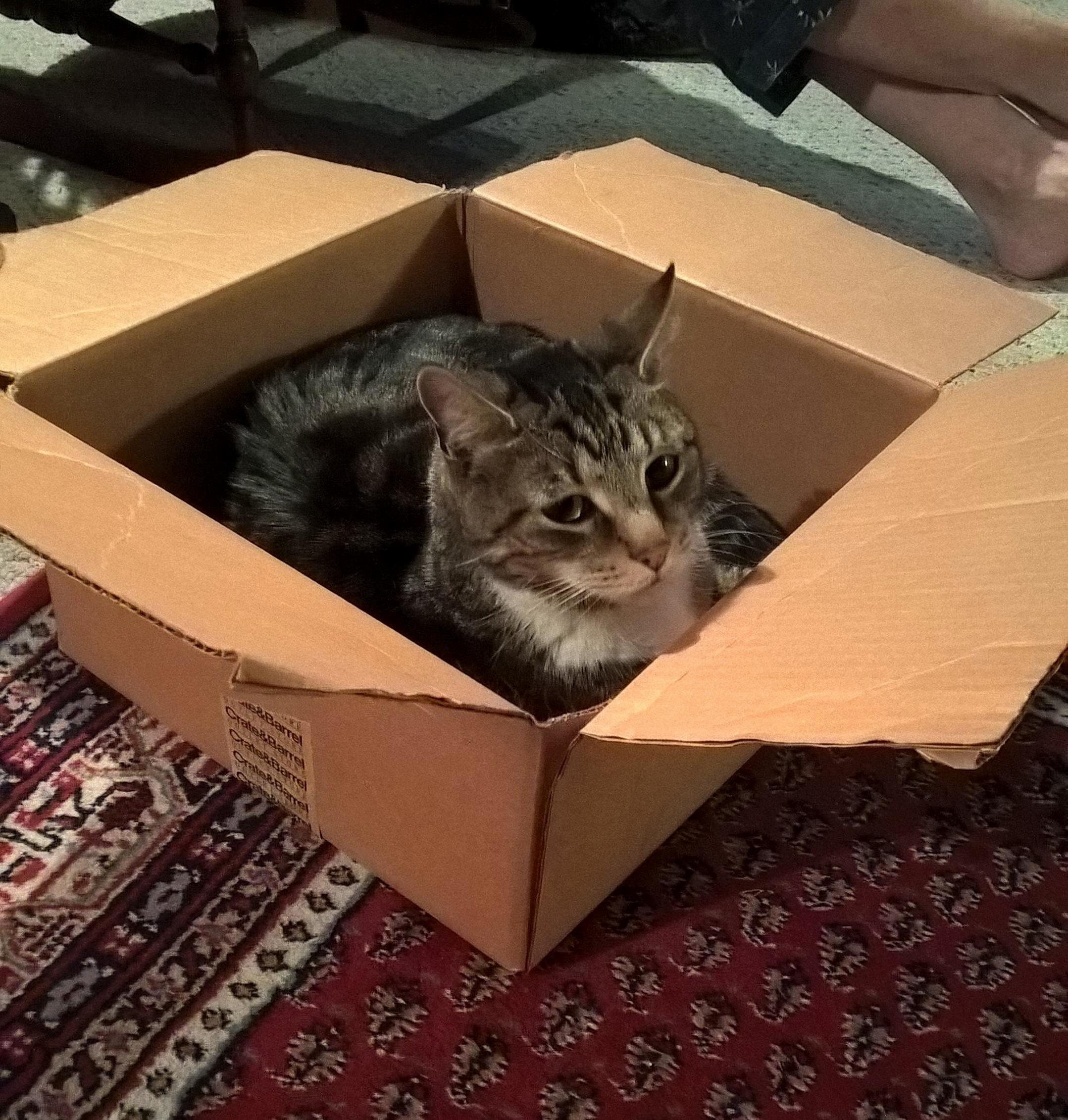 Newly adopted kitty cant stand his brand new bed will only sleep in cardboard box