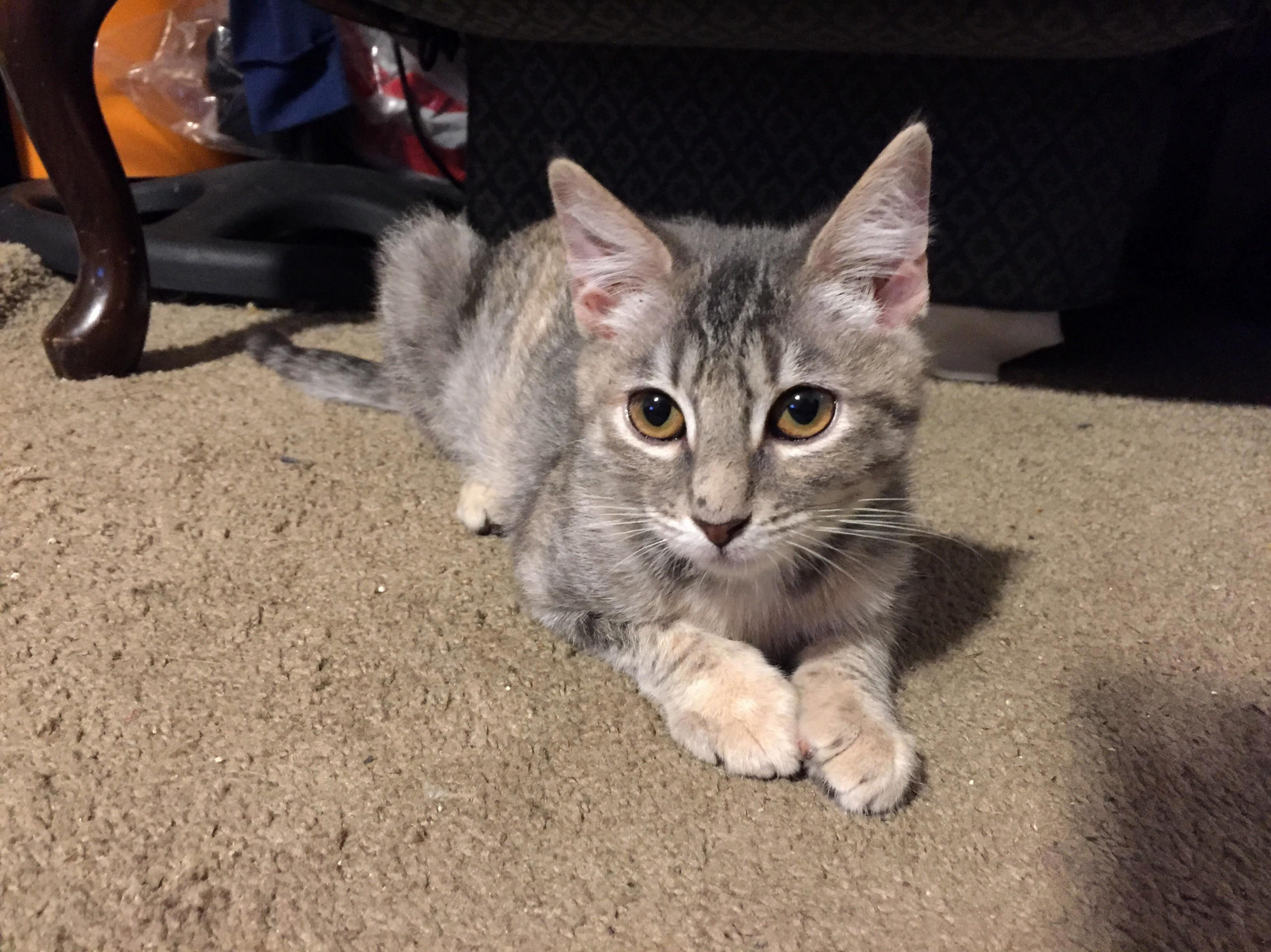 Our 2nd kitty lilibet 4mo .