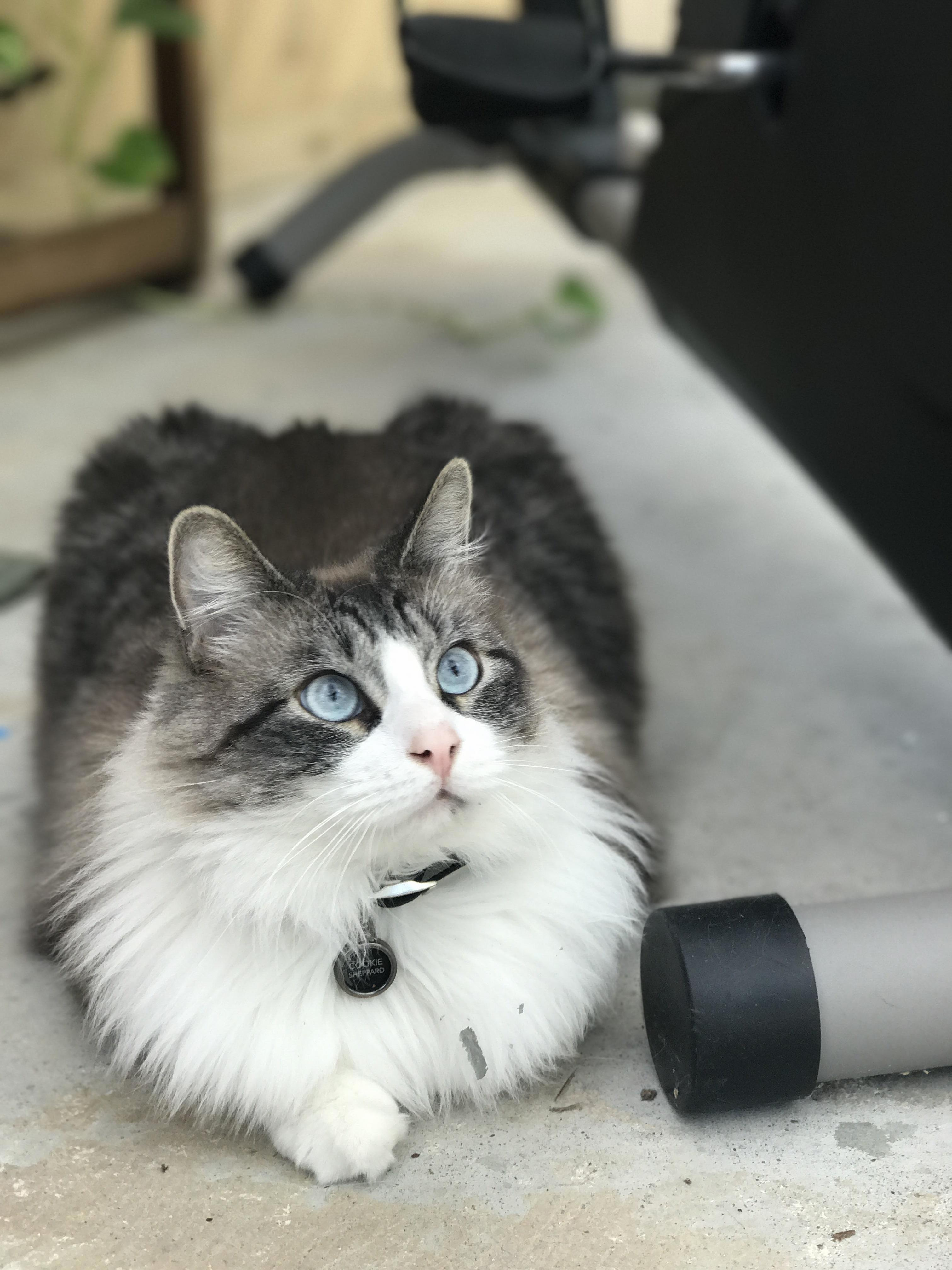 Our bright eyed ragdoll cat cookie