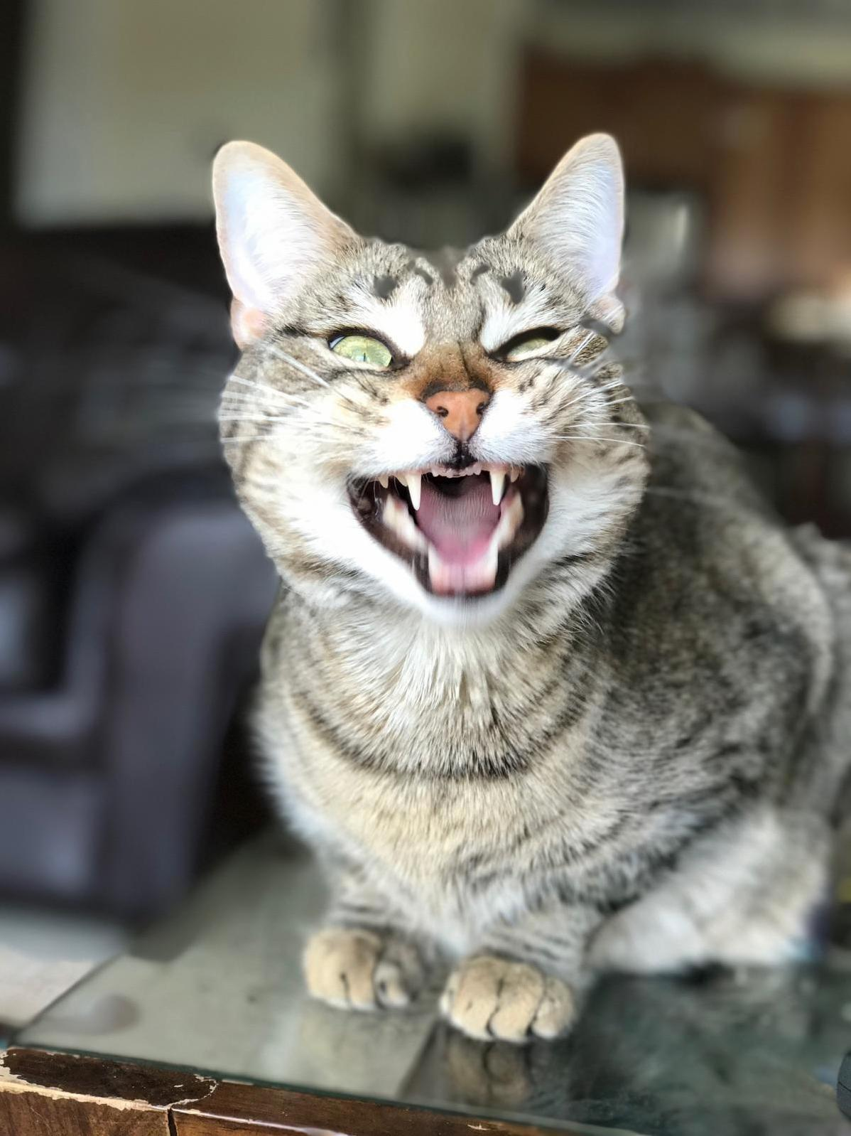 Sis was taking care of our cats this weekend she managed to catch sedona mid yawn looking furrrocious as ever.