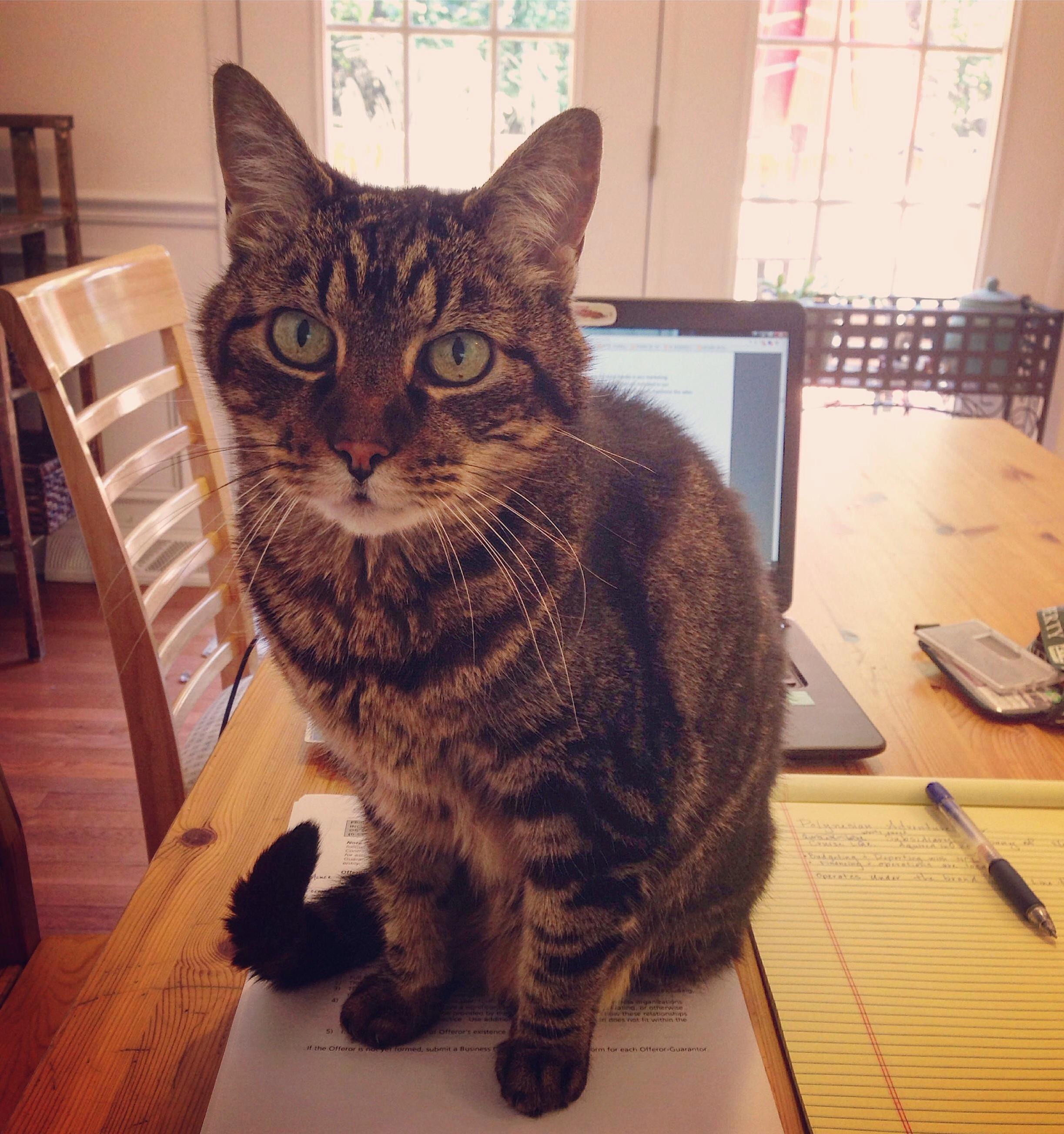 When you are working from home and your cat calls a meeting.