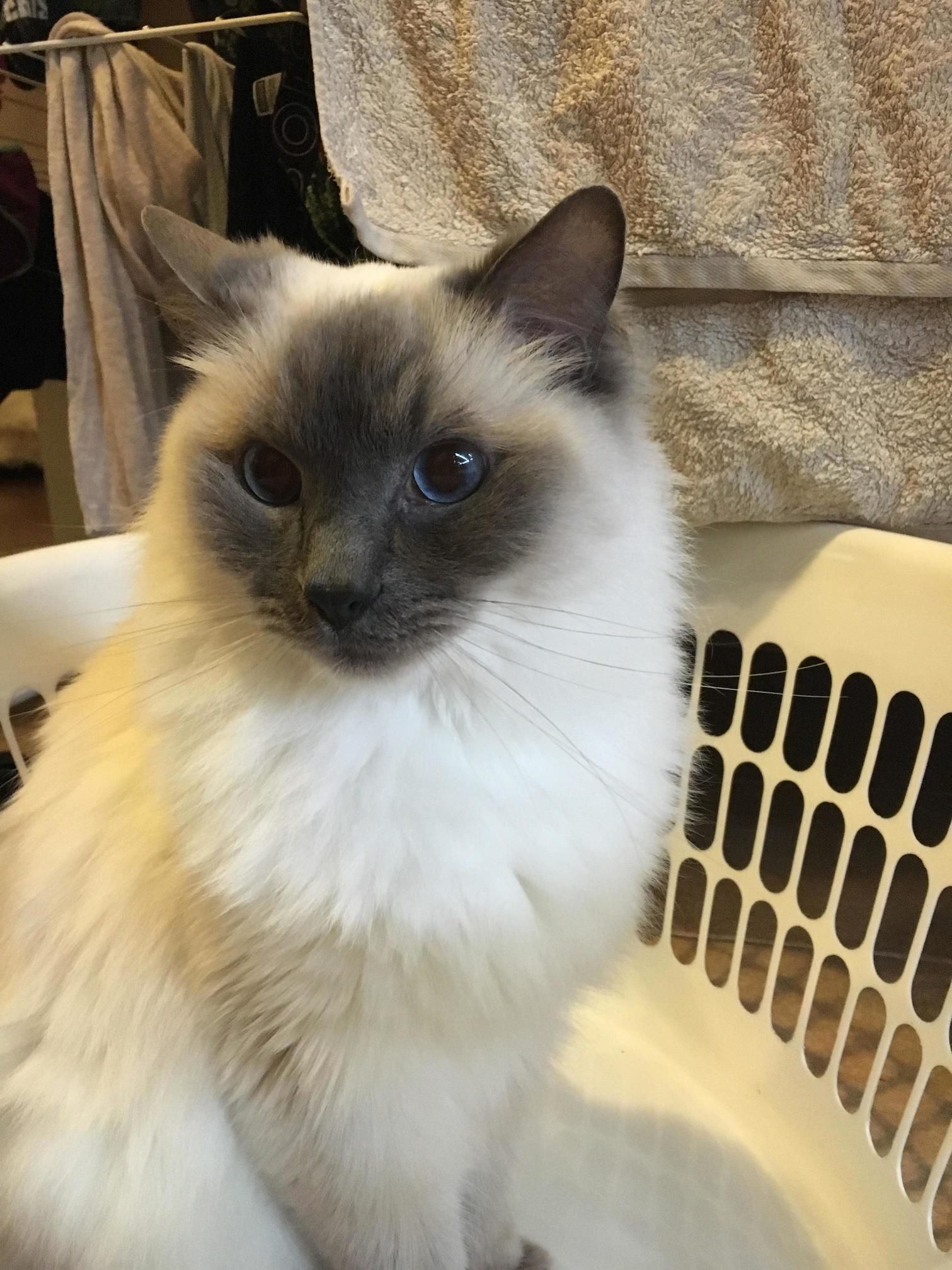 yoshi and i love an empty laundry basket cute cats hq pictures