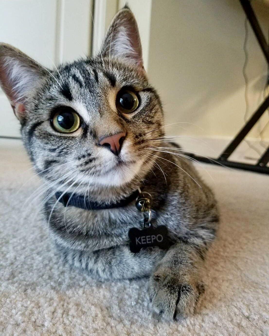 infected cat scratch treatment