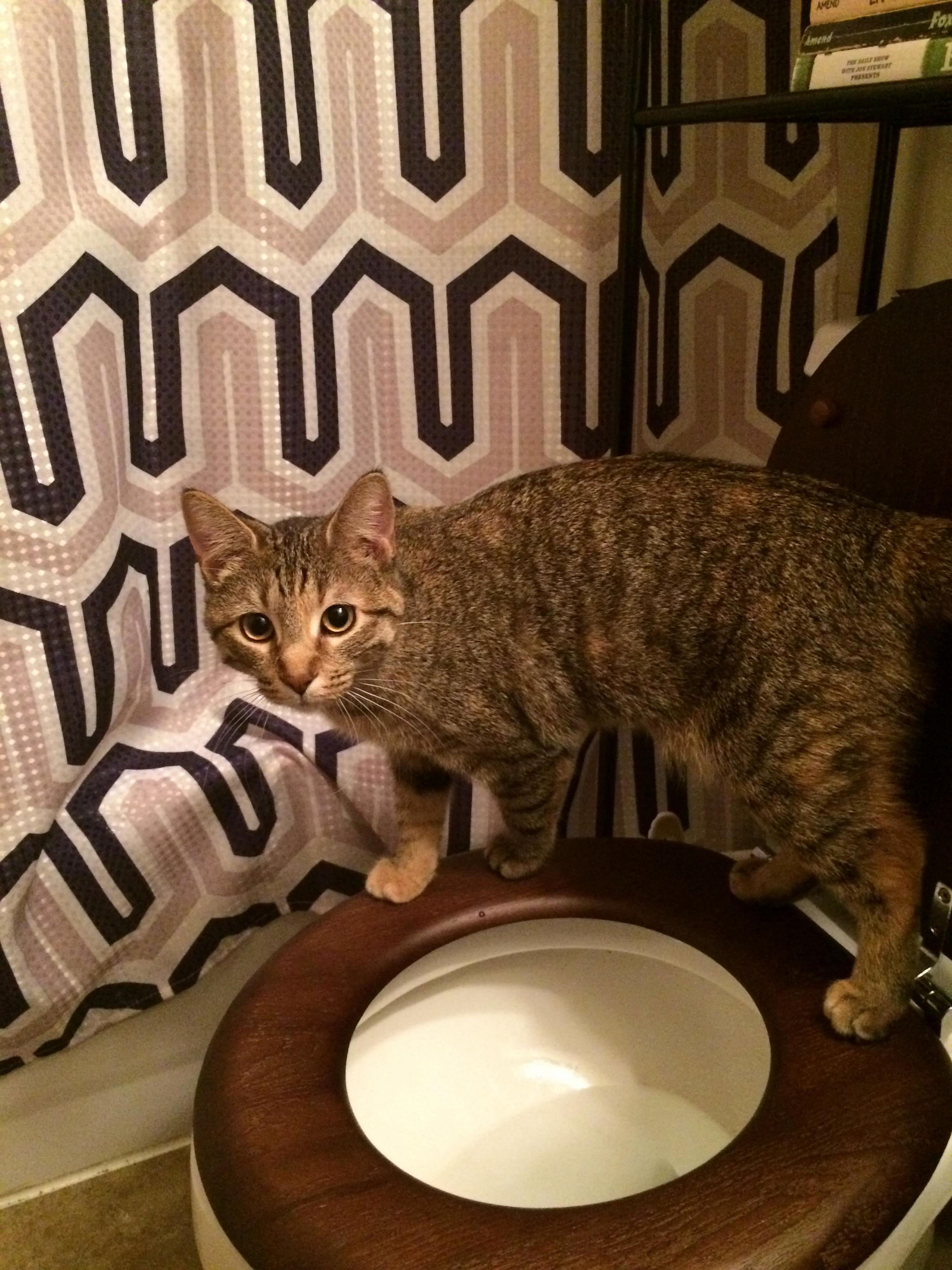 My wife and i have finally finished training our cat ripley to use a toilet instead of a litter box. ama about toilet training for cats