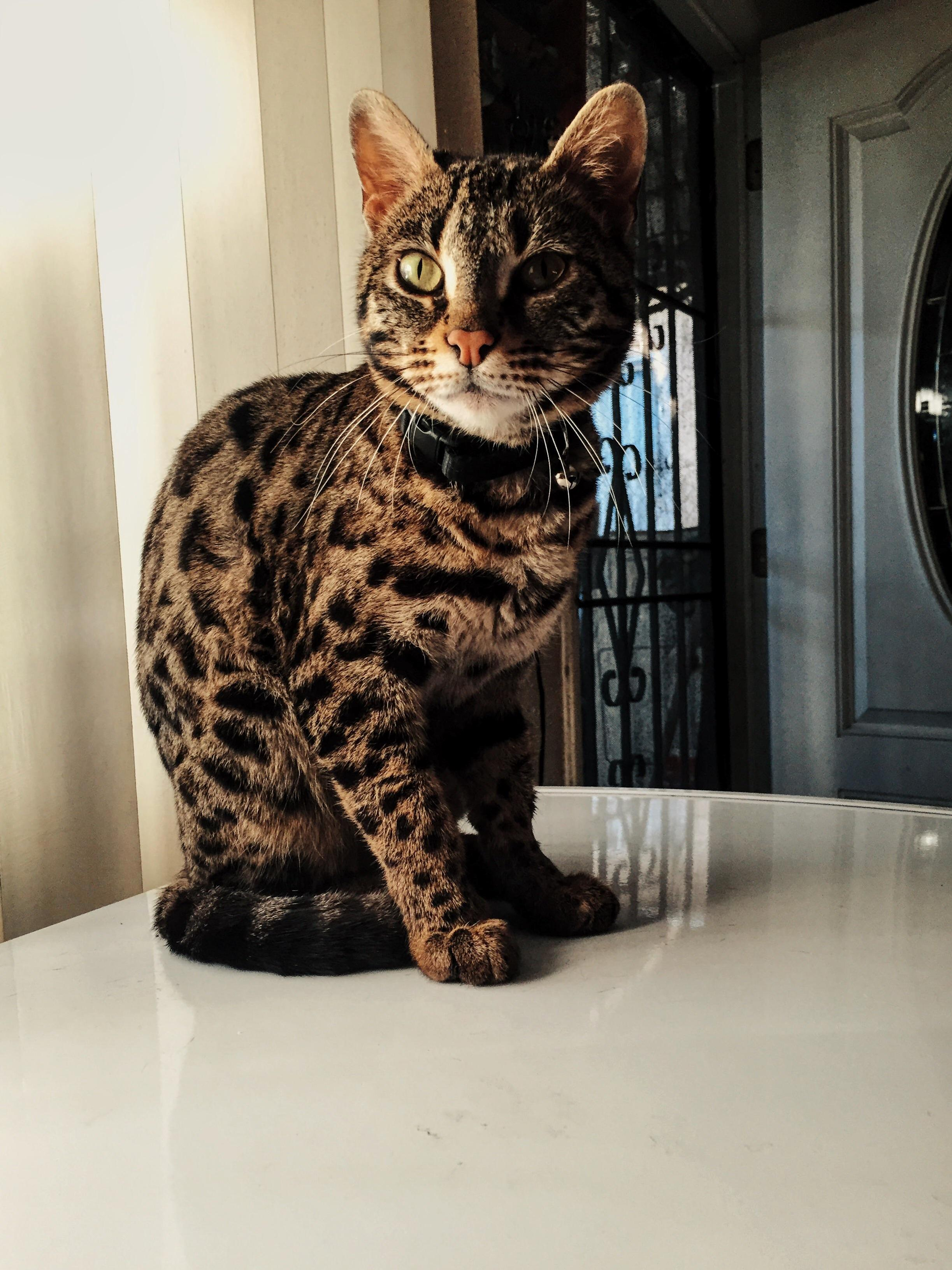 This is pepper my f1 bengal