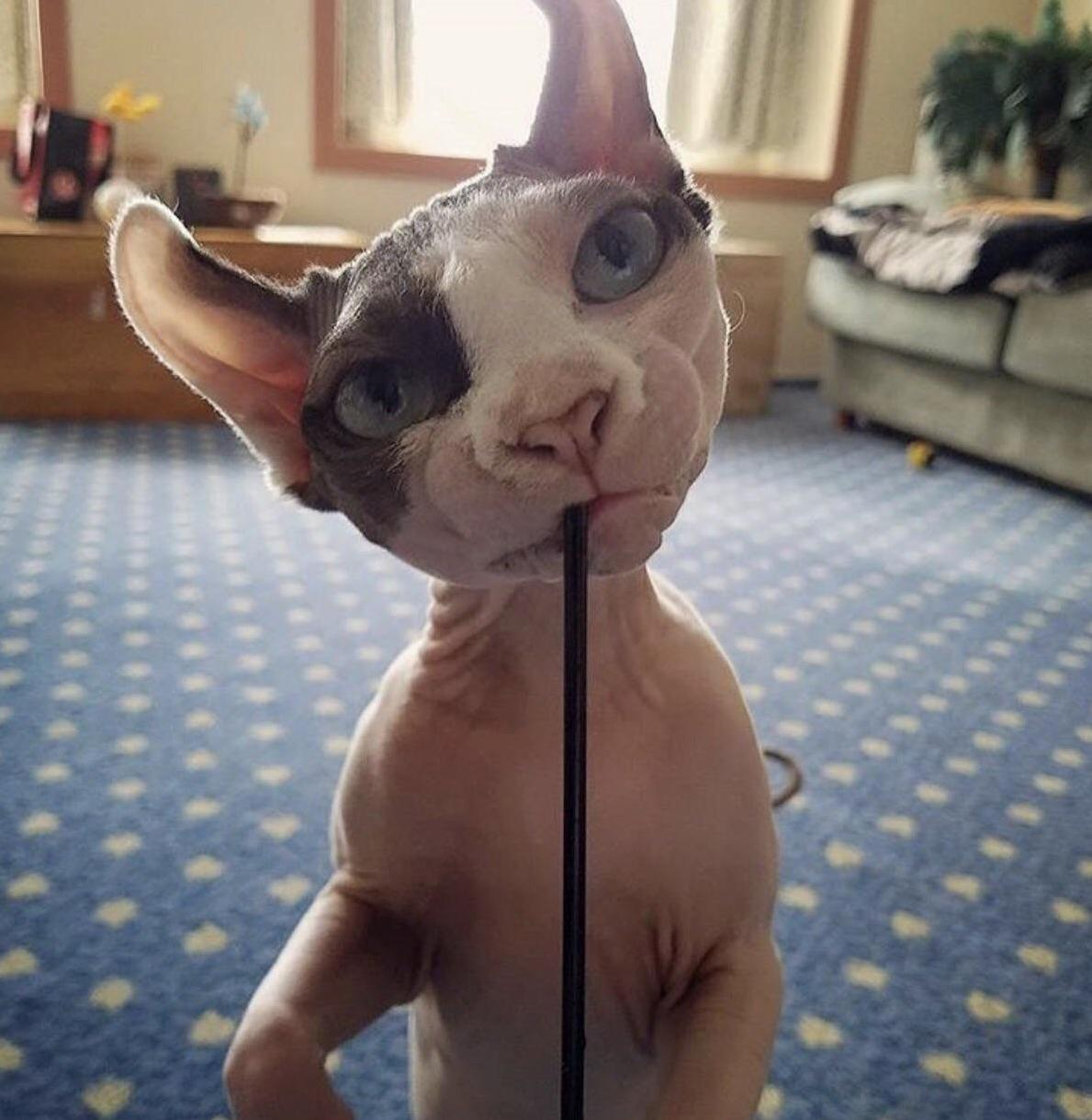 Where can i find sphinx kittens in ct