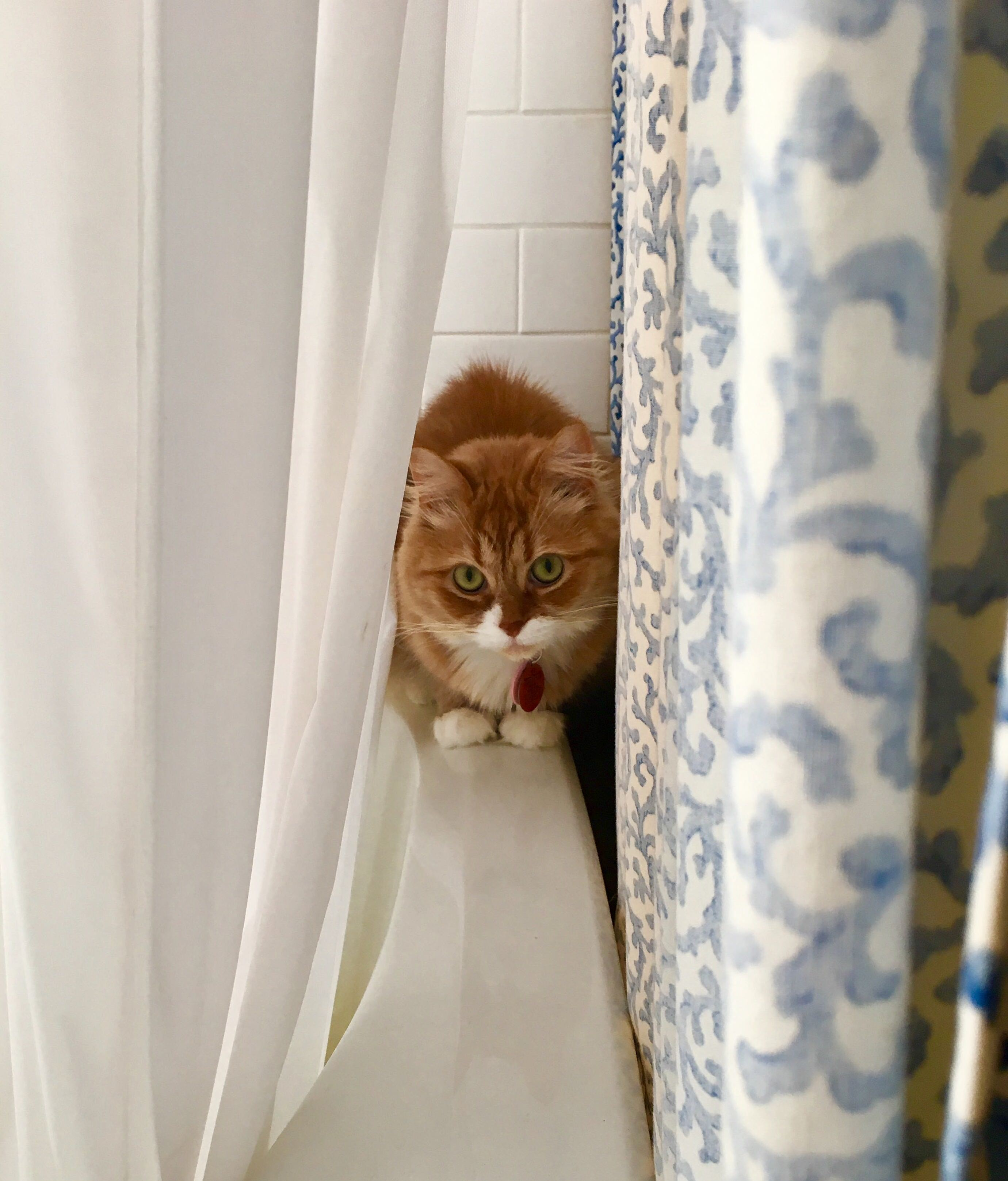 Winston likes to hide between the shower curtains