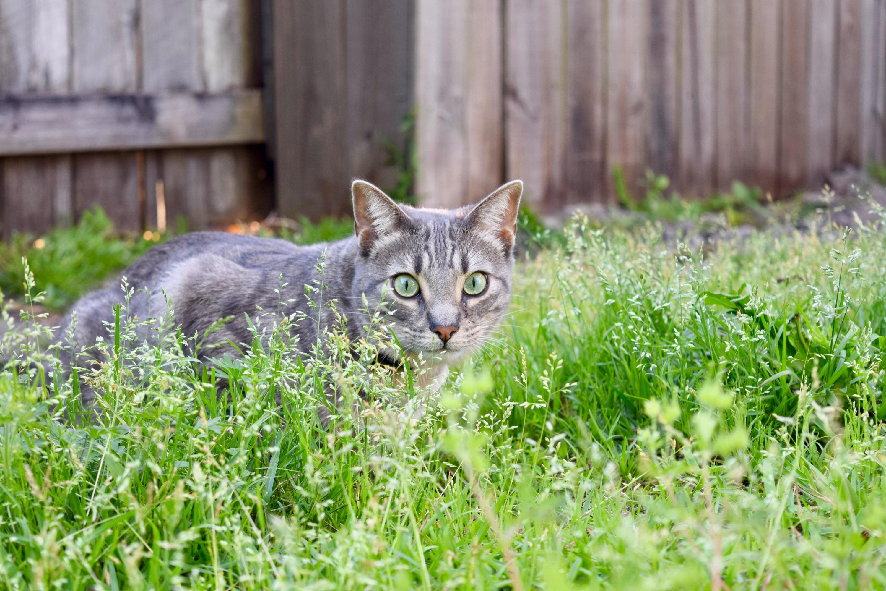 An indoor cat getting acquainted with the wild wild back yard