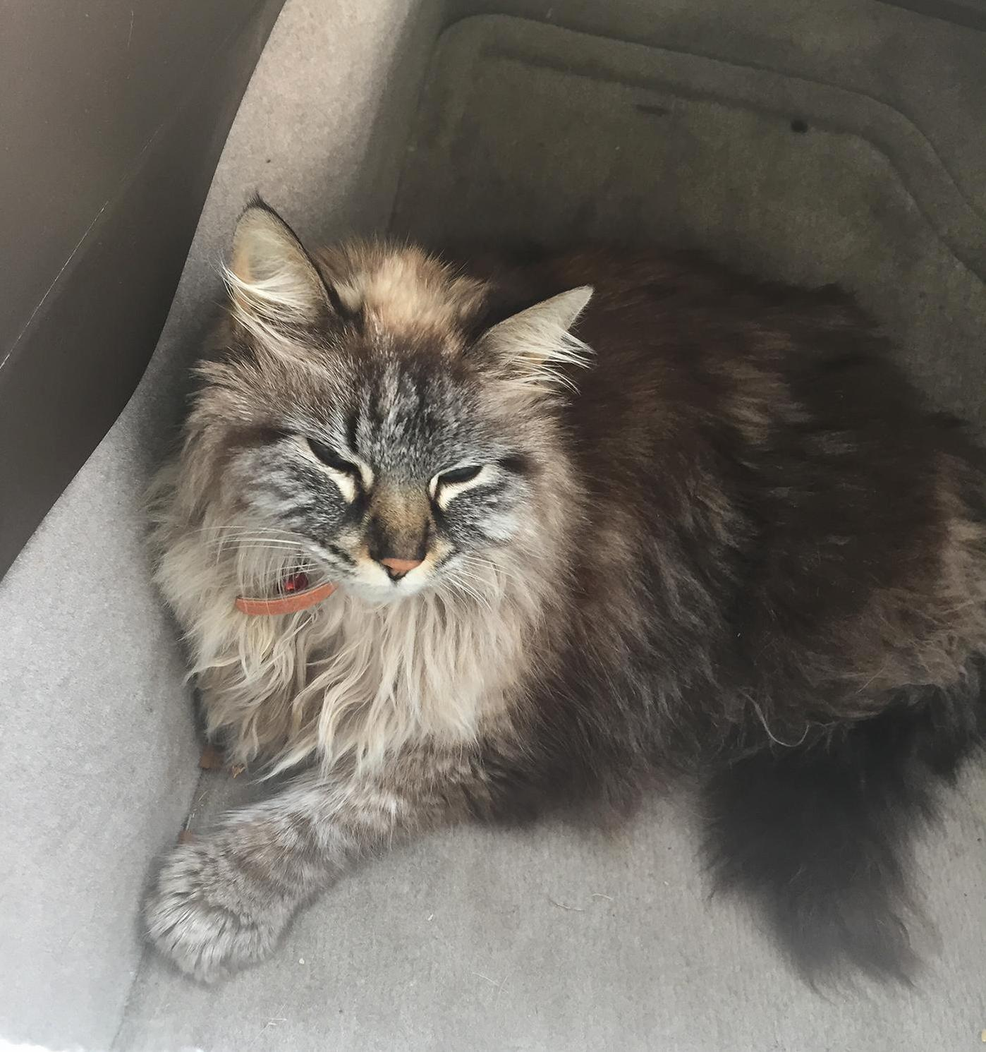 Found her lost and working on finding the owner. what breed of cat is she