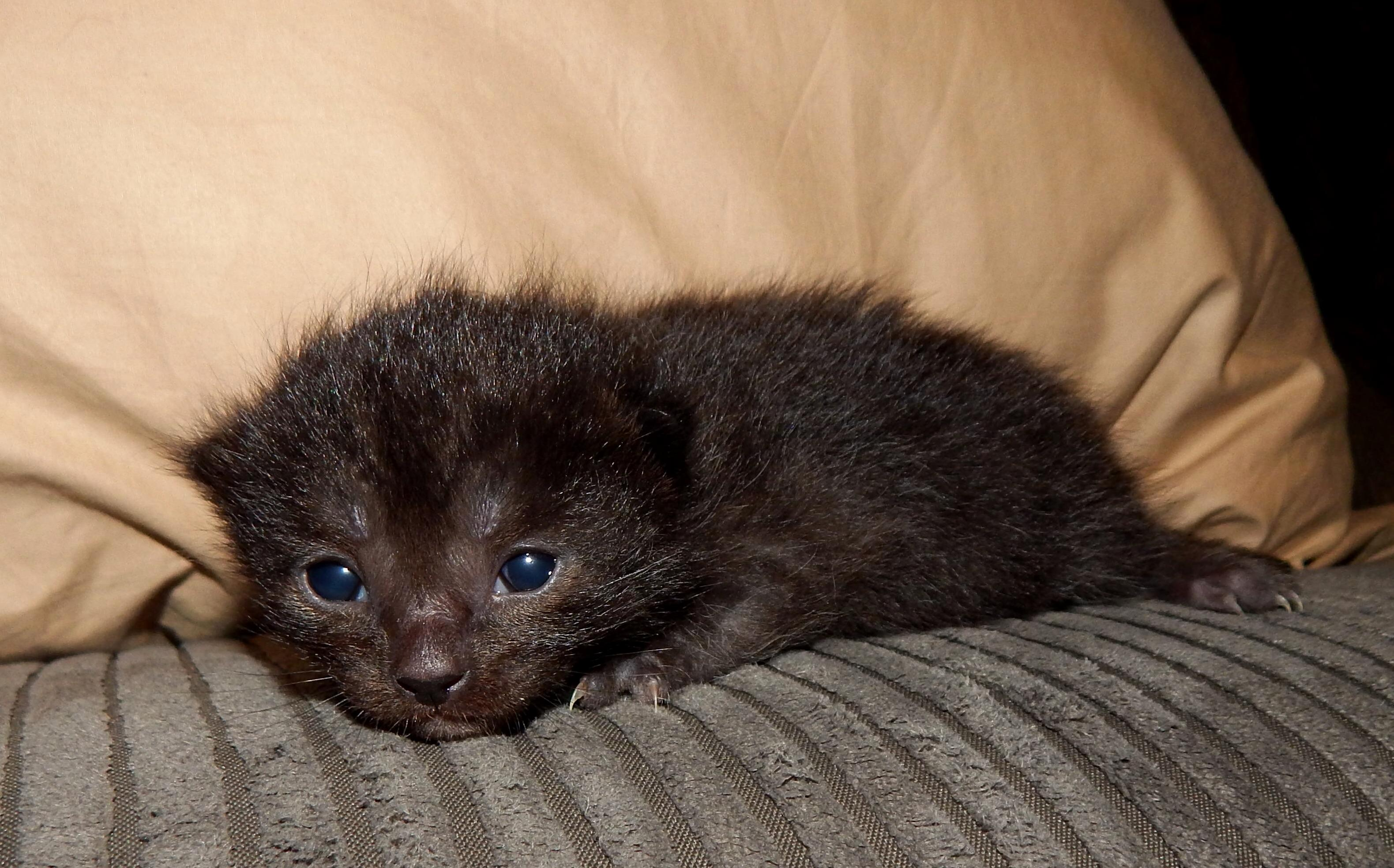 Going to be a dad meet my soon to be cat. shes an all back russian blue 4 weeks old .