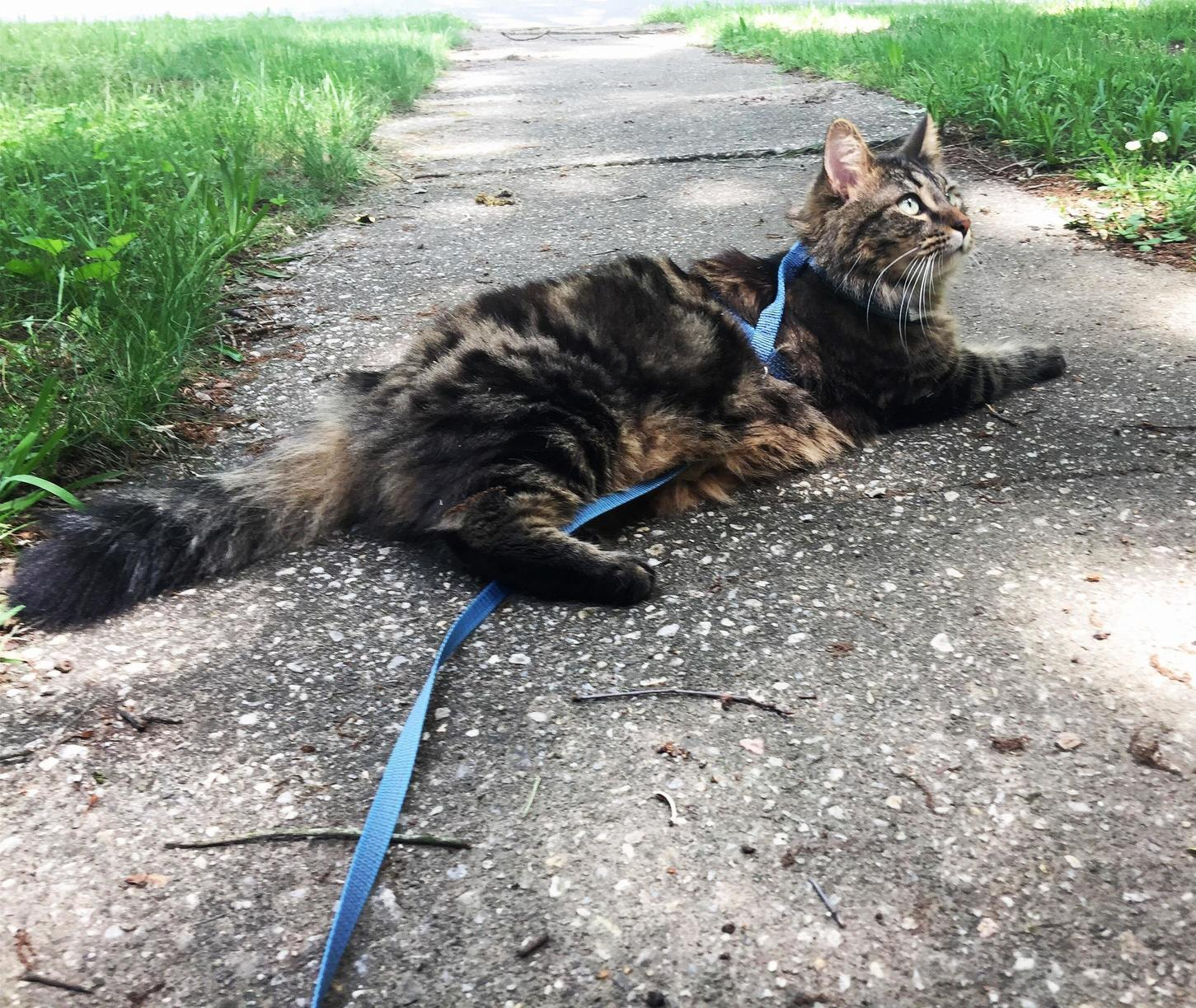 Meeko taking a stand or seat against walks