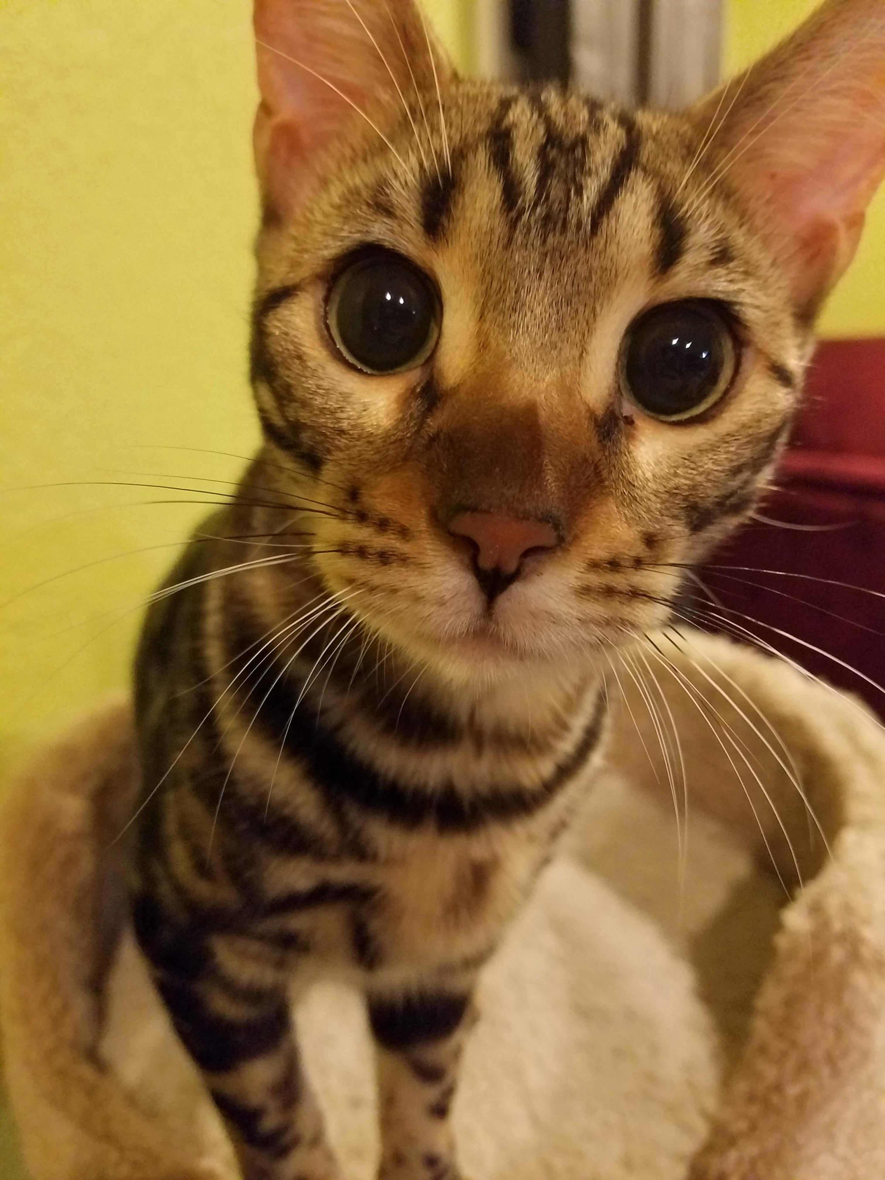 Meet lex one of our bengals.
