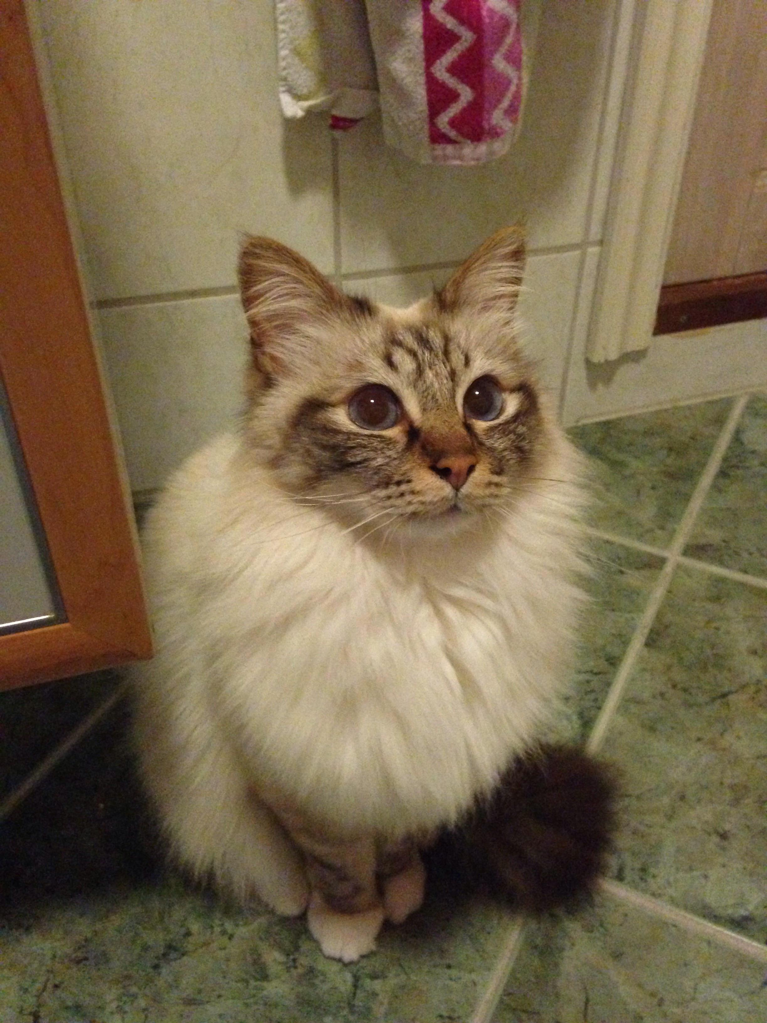 My birman cat kaoz