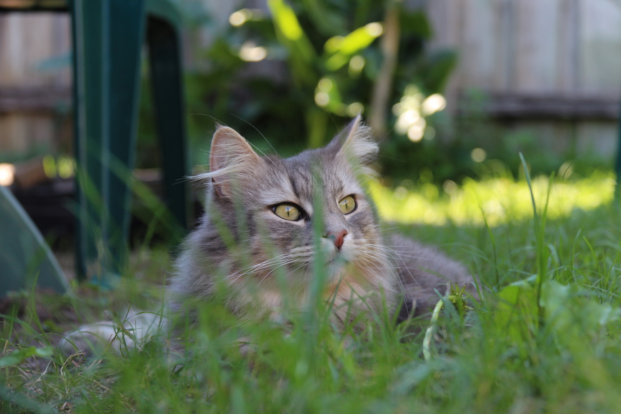 Our cat luxe enjoying our backyard