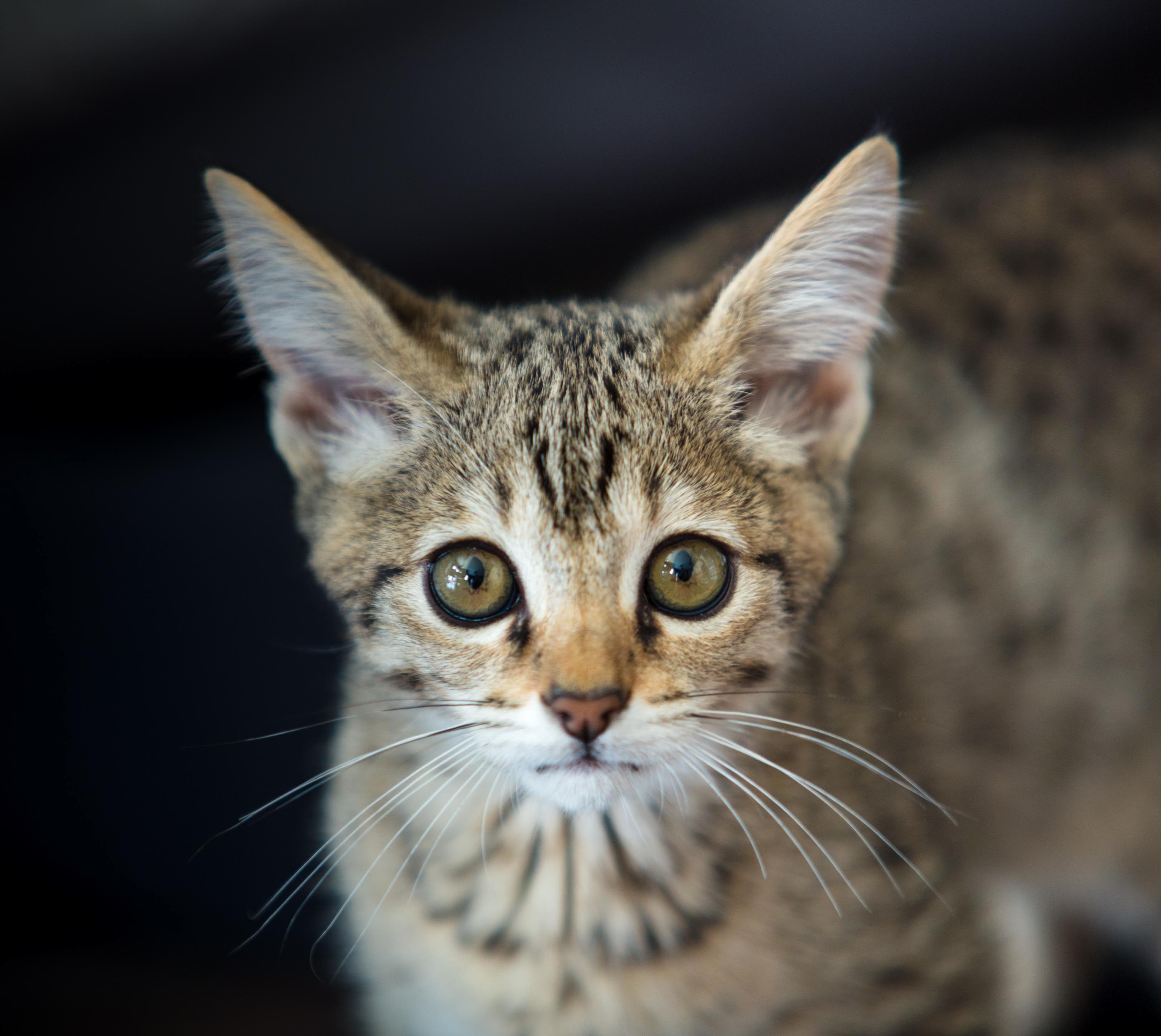 This is luna my f3 savannah kitten