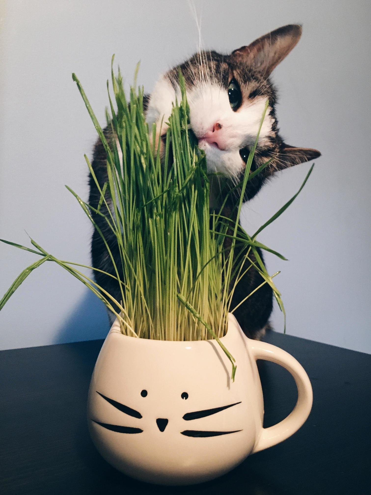 Bernie loves his cat grass.