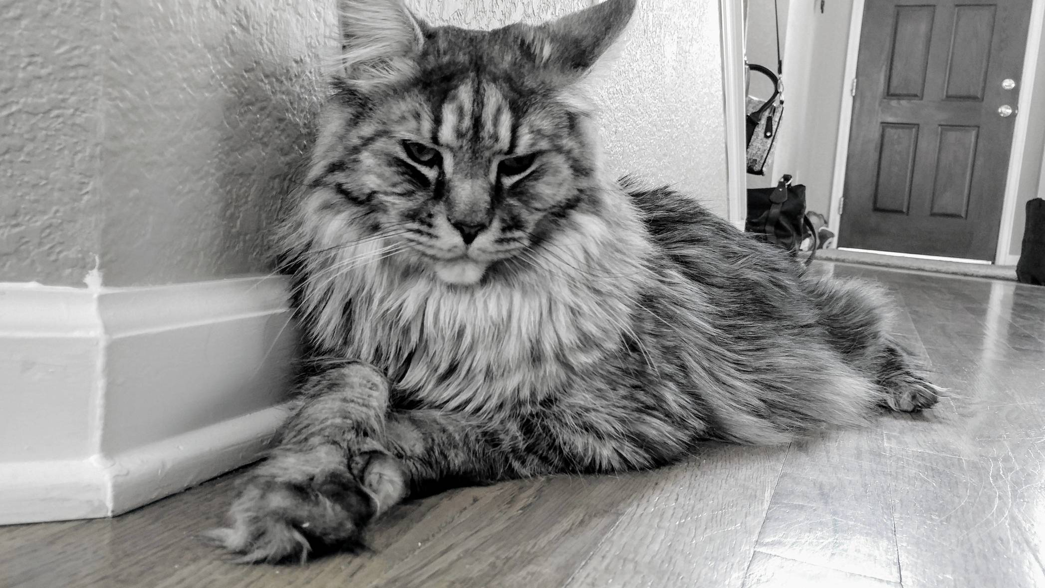 Buster the maine coon