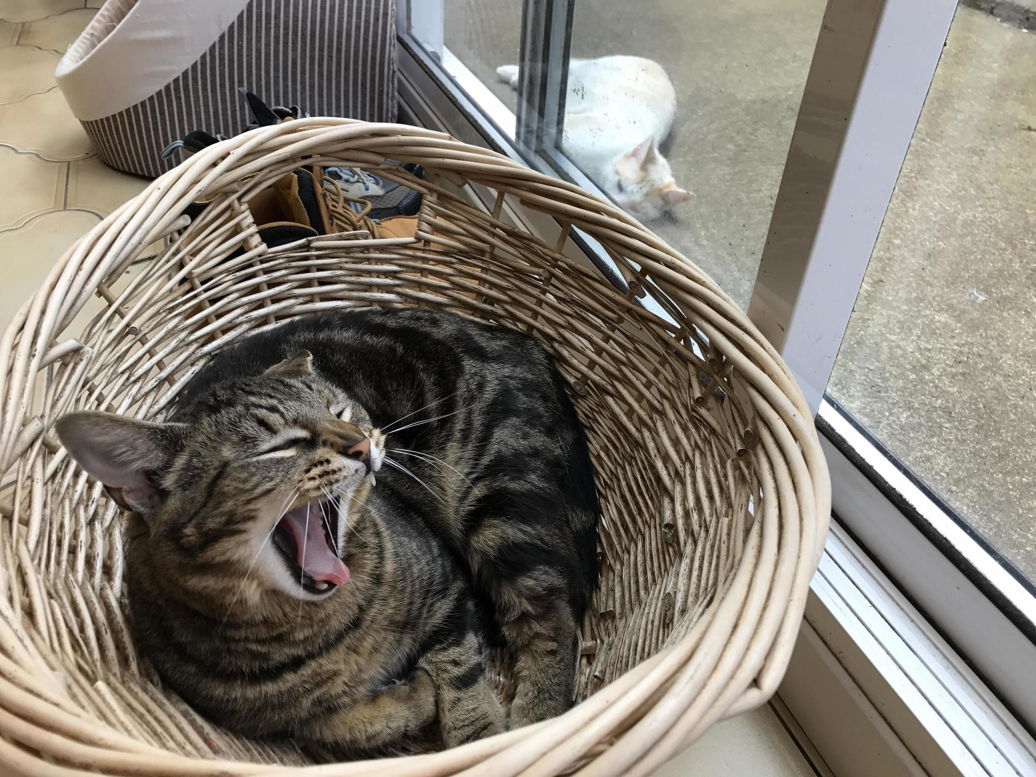 Cute yawn or vicious roar
