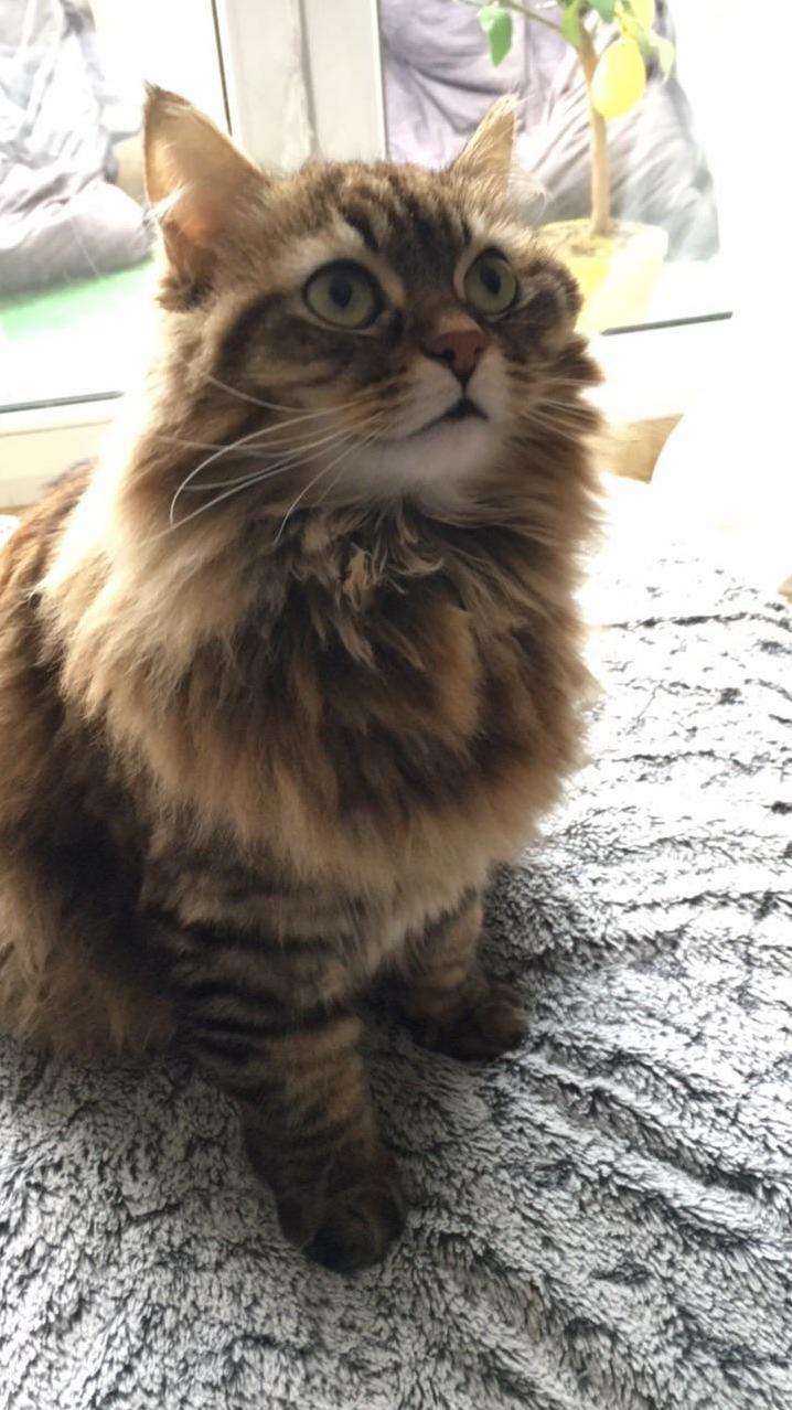 Hi rcats heres my lovely cat. does someone know which kind she is she notably has fur in her ears and under her big paws. thank you